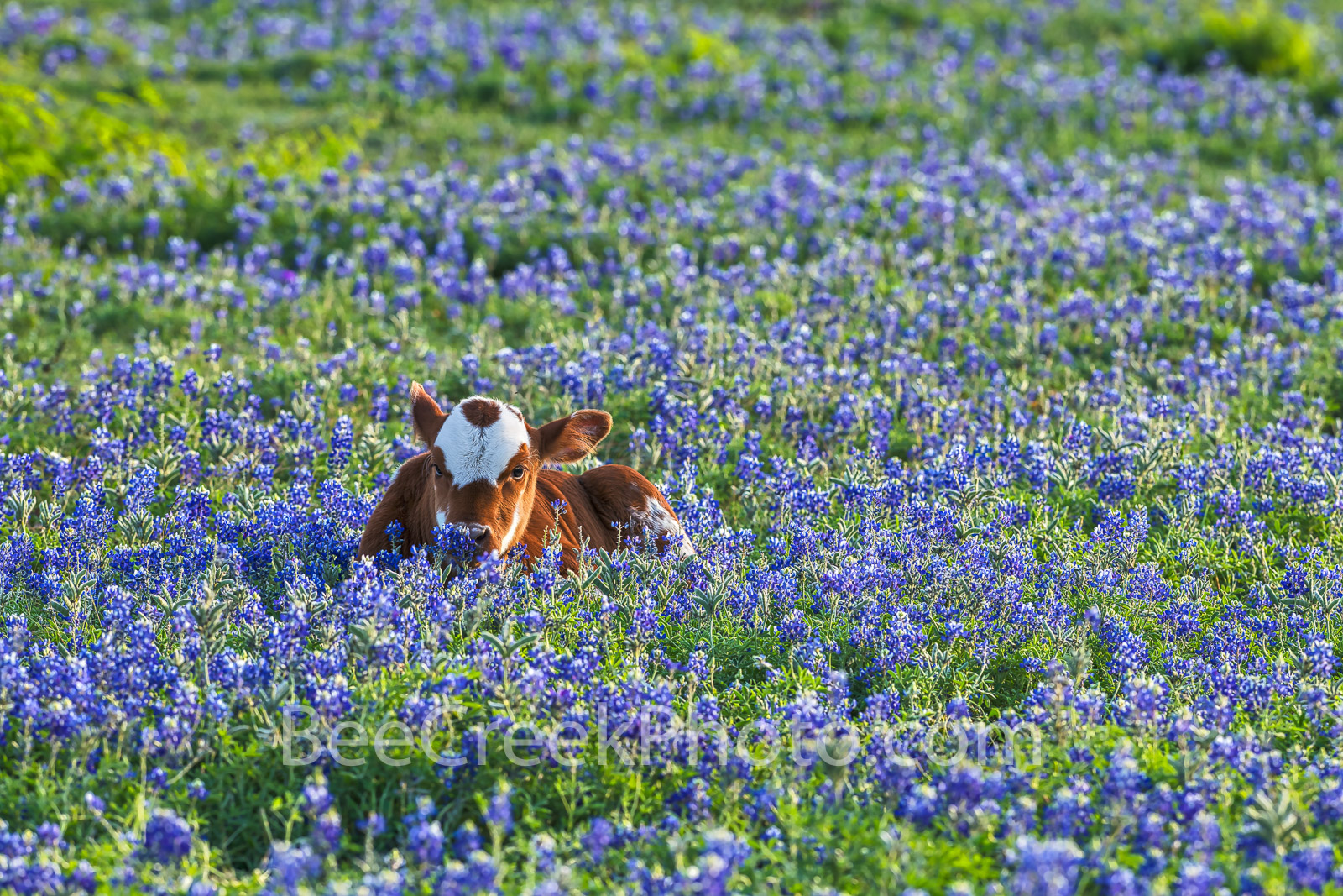 Longhorn Calf in Bluebonnets - This probably was my favorite bluebonnet image this year of this longhorn calf laying in a field...