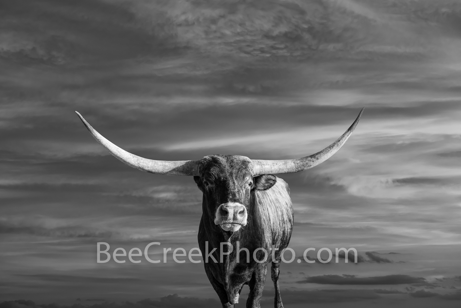 Majestic Longhorns at Sunset BW - This Texas longhorn on a ranch out in the Texas hill country had been gradually coming towards...