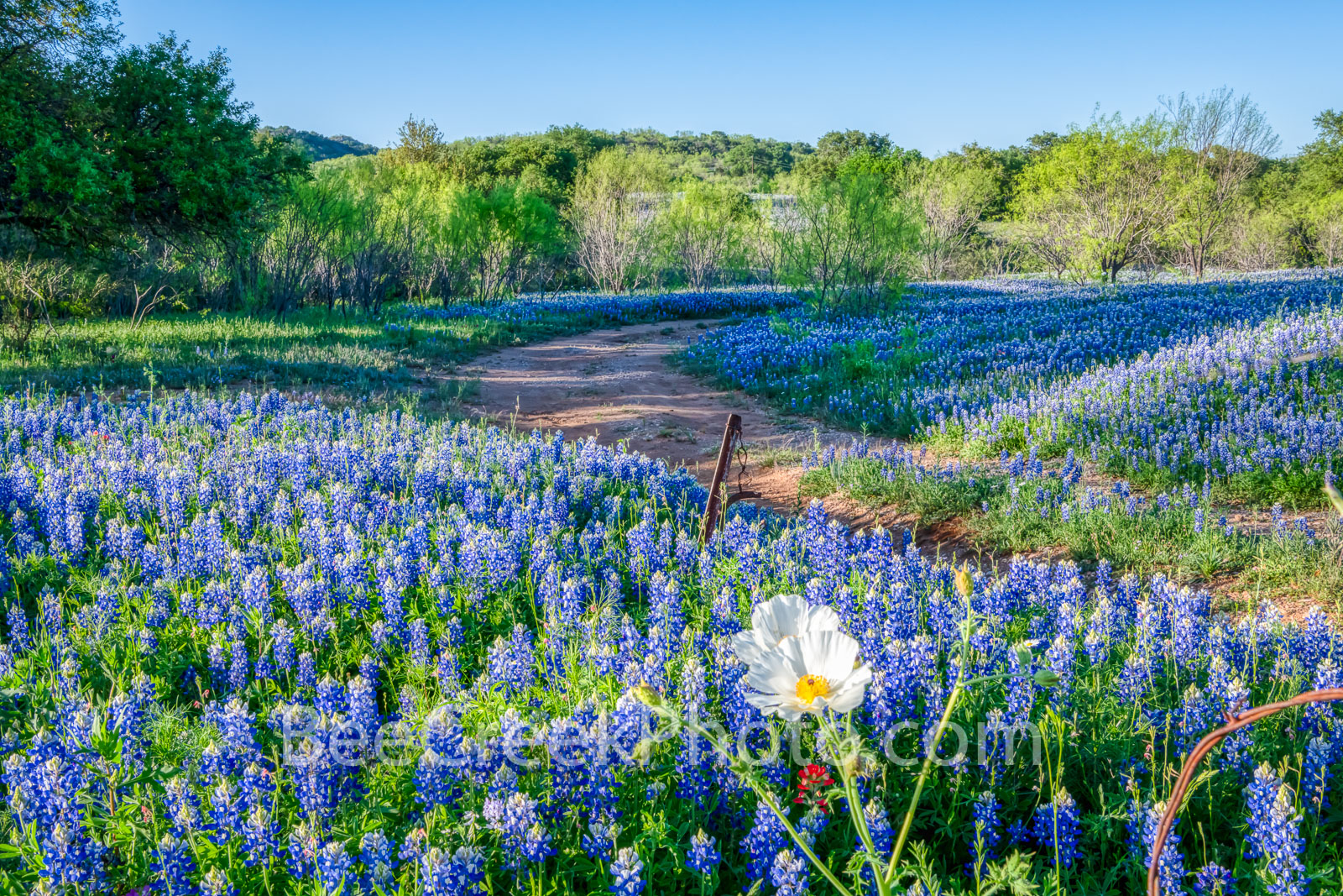 poppies, texas bluebonnets, bluebonnets, wildflowers, texas hill country, texas, field of bluebonnets, blue bonnets, poppy, hill country, shadows, light, road, mesquite, blue, sun, curved road, images