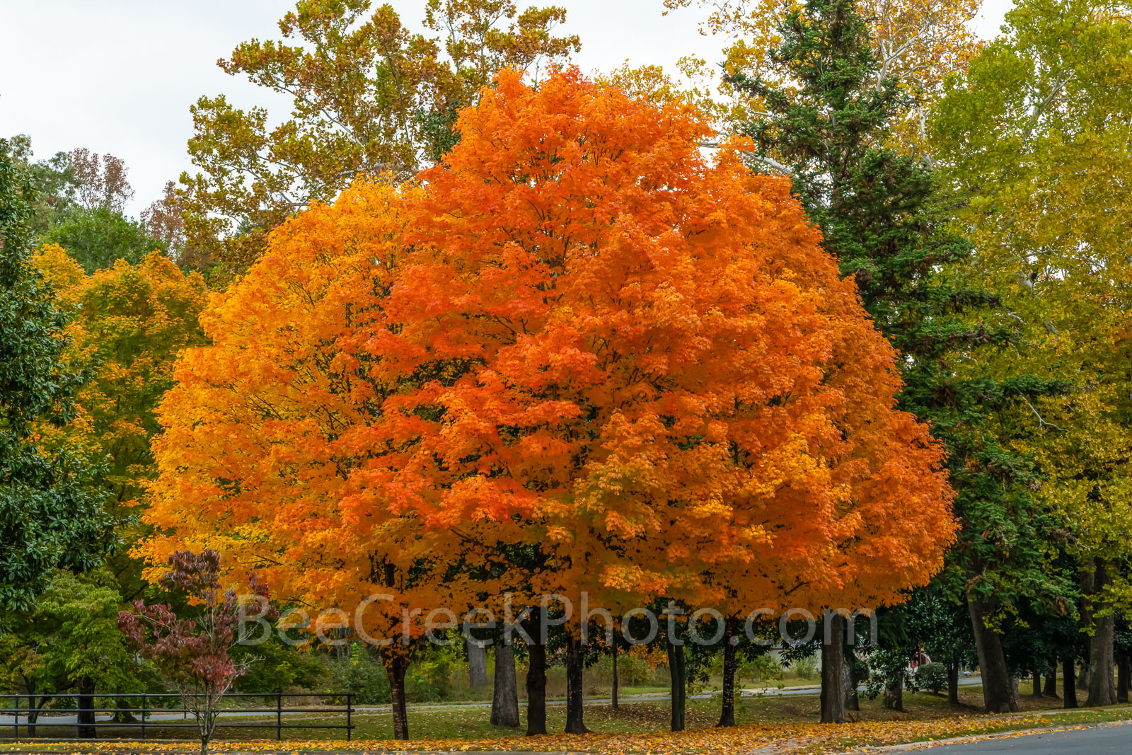 sugar maples, fall, autumn, trees, fall color, fall scenery, fall trees, maples, foliage, leaves, sun, yellow, orange, reds, colorful,, photo