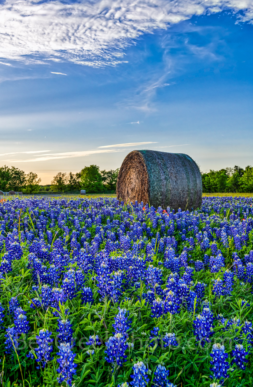 Texas bluebonnets, hay bales, vertical format, lovely bluebonnets, rural, wildflowers, field,Texas Bluebonnets with Hay bales, farm, , photo