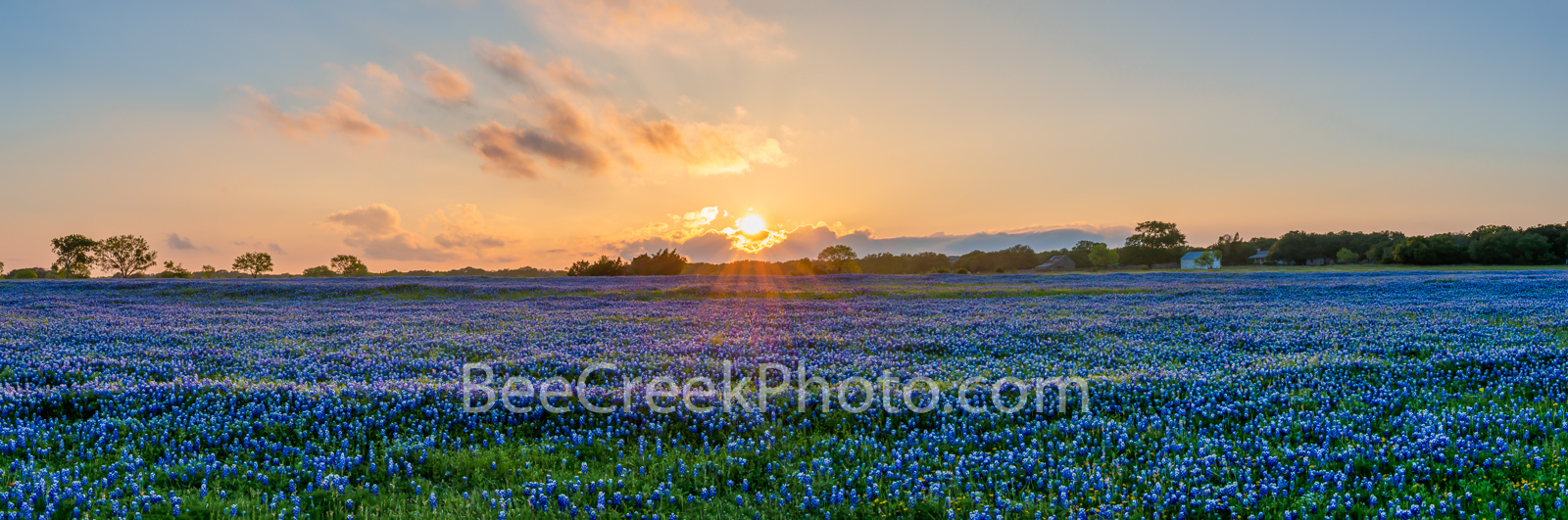 Texas Hill Country Bluebonnets Field Pano -  We capture this wonderful field of Texas bluebonnets in theTexas Hill Country....