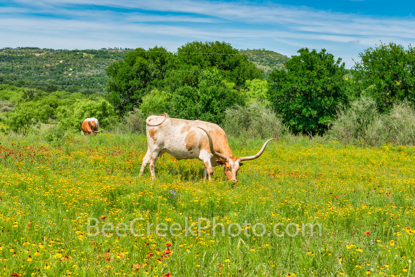 Texas Wildflowers and Longhorns -We capture these longhorns in a field of wildflowers out in the texas hill country on a nice...