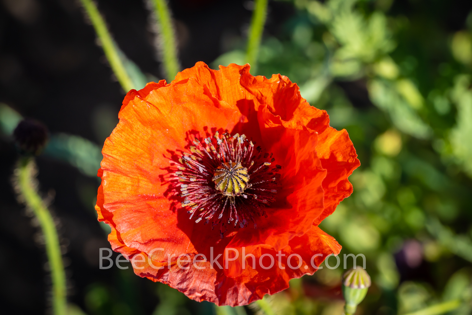 A Red Corn Poppy Macro - We capture thi red corn poppies in a field of poppies we wanted to capture them up close. Some also...