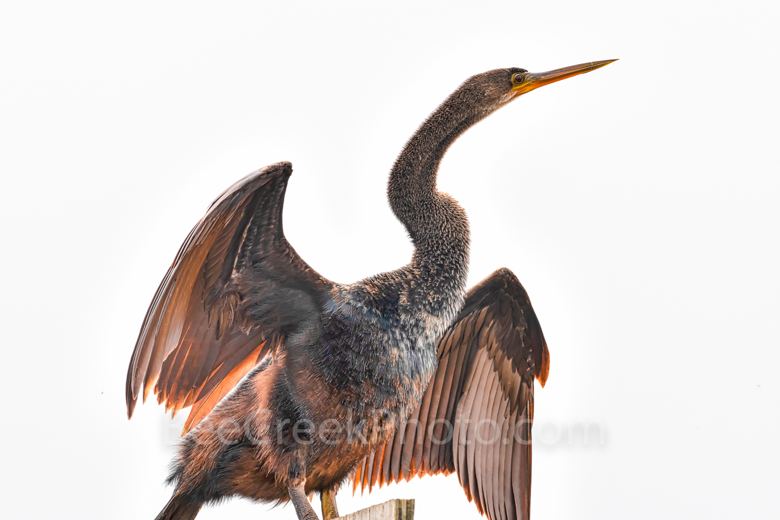 anhinga, sea bird, water, water bird, fog, white, wings, feathers, photos, bird photos, spear fish, beaks, fish, diving,snake bird, darter, photo
