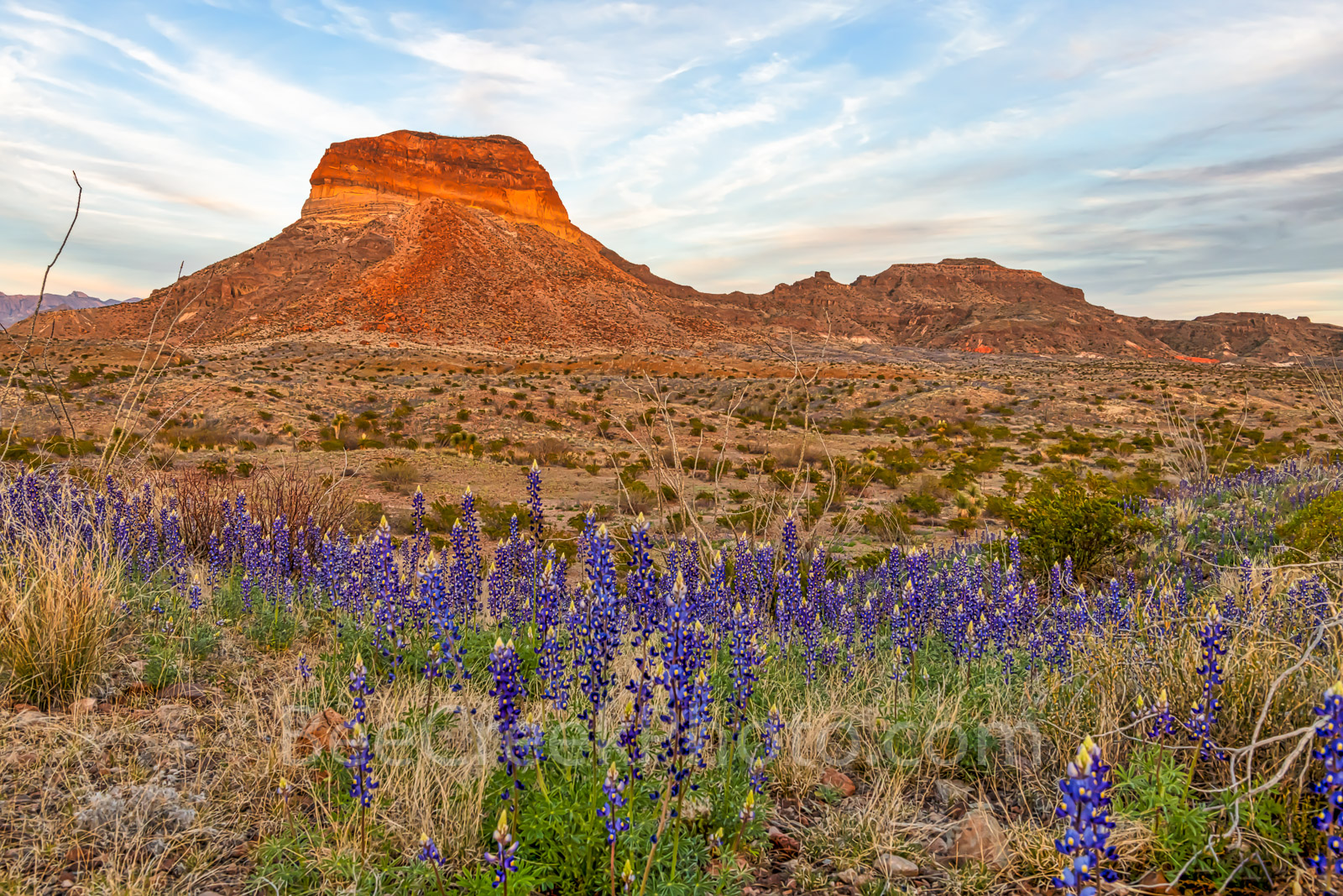 Bluebonnets, blue bonnets, images of bluebonnet, texas wildflowers, texas bluebonnets, Big Bend National Park, Big Bend, landmark, Cerro Castellan, desert, landscape, bloom, Chiso bluebonnets, Chihuah, photo