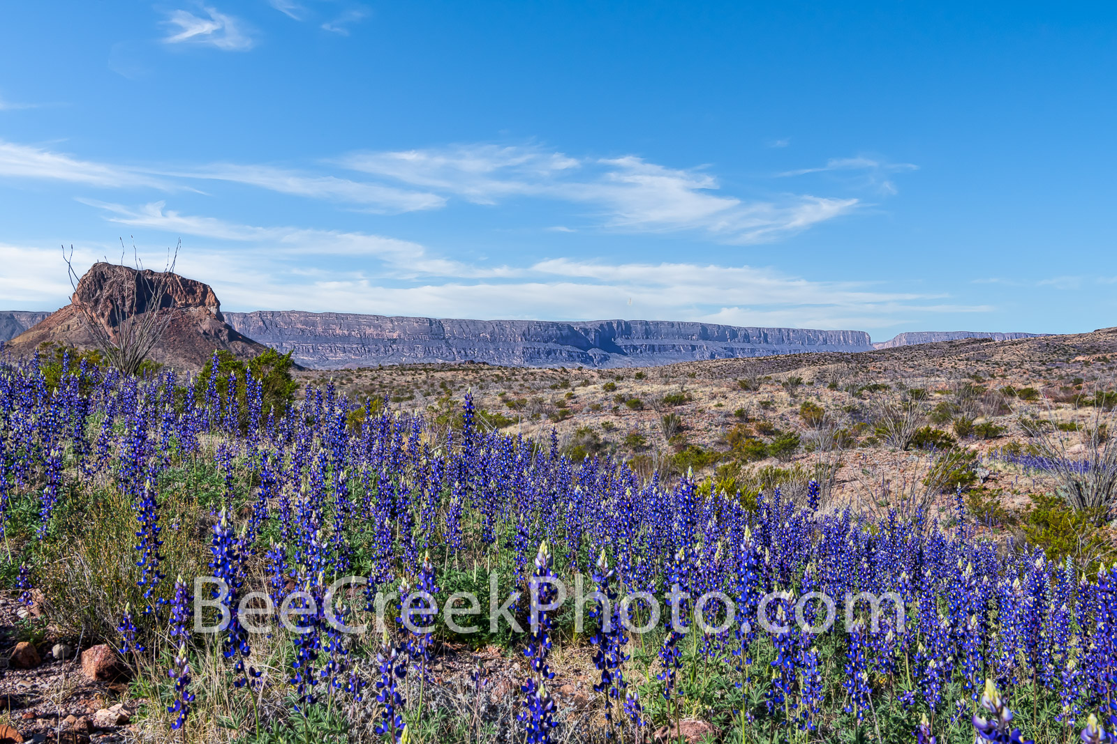 Big Bend National Park, image of bluebonnets, Cerro Castillian, Santa elena Canyon, mountains, desert, big bend, texas bluebonnets, Big Bend Bluebonnet, Big Bend Lupine, Havard Bluebonnet, Chisos Blue, photo