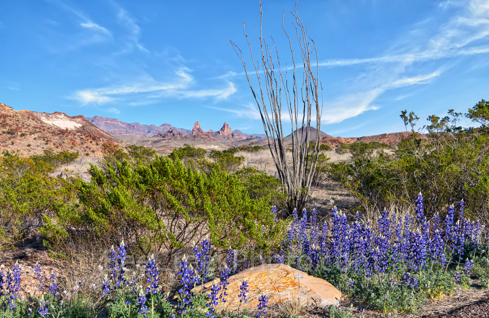big bend bluebonnets, octillo, shrubs, Mule Ear, big bend national park, wildflowers, desert, landscape, mountains, west texas, texas bluebonnets, chiso bluebonnets, texas wildflowers,, photo