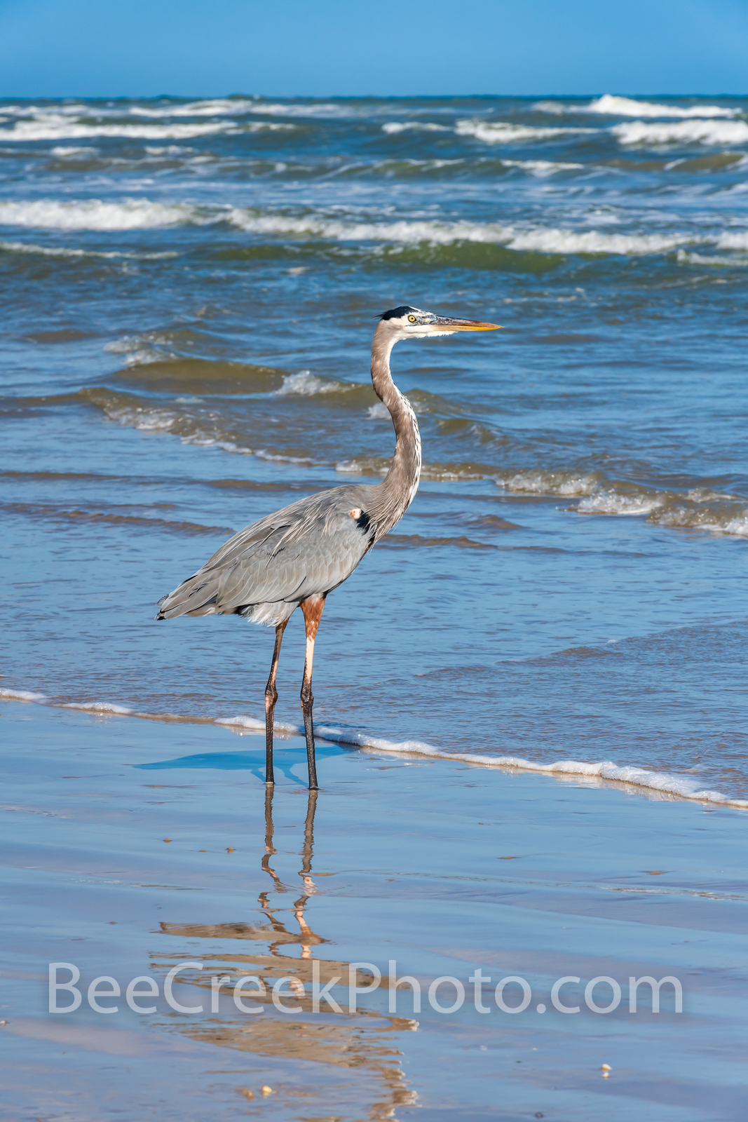Blue Heron Fishing Gulf of Mexico - We always enjoy a capture at the beach of a blue heron fishing in the surf.  Usually they...