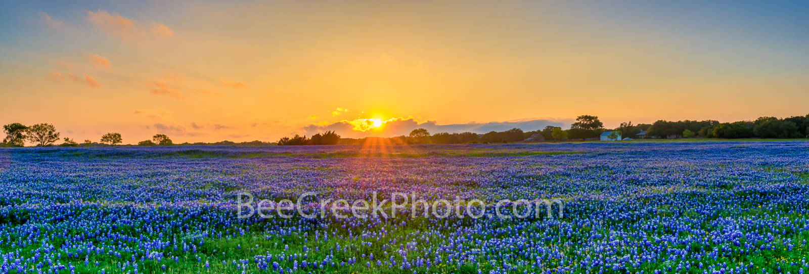 bluebonnets, bluebonnet, texas bluebonnets, texas wildflowers, pictures of wildflowers, bluebonnet pictures, , pano, panorama, golden glow, wildflowers, spring, sunset,, photo