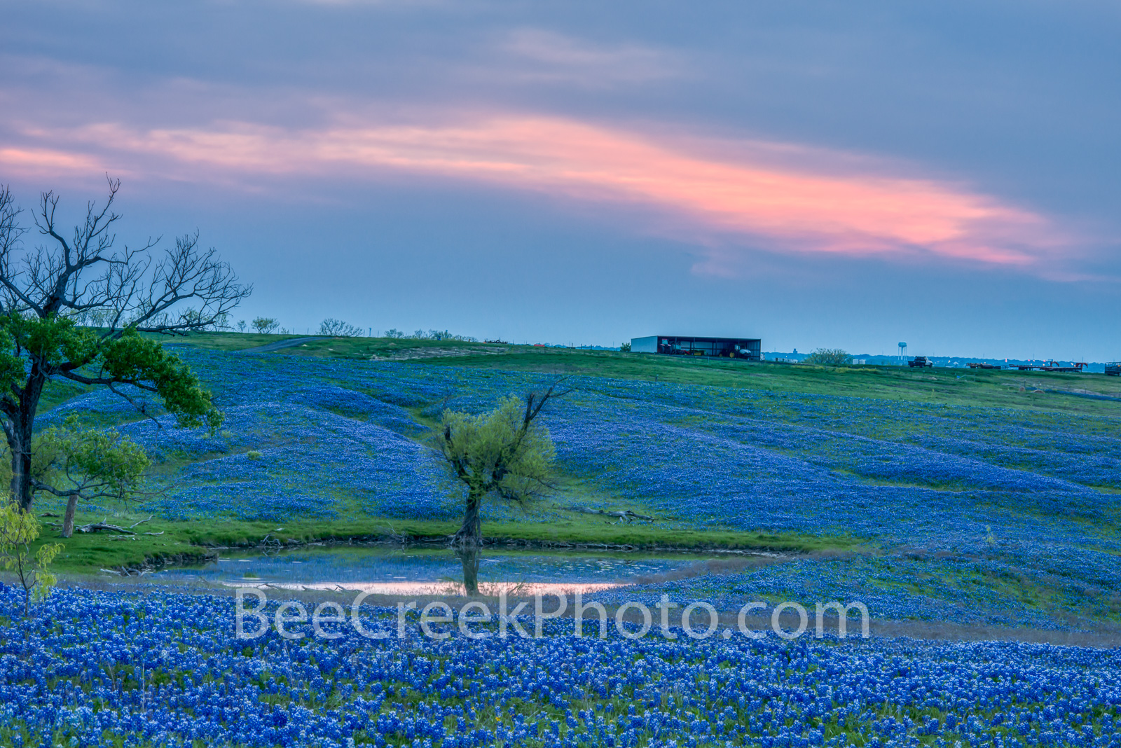 Bluebonnet Ranch Landscape Sunset - This wonderful field was such a lush field of bluebonnet wildflower right after sunset as...