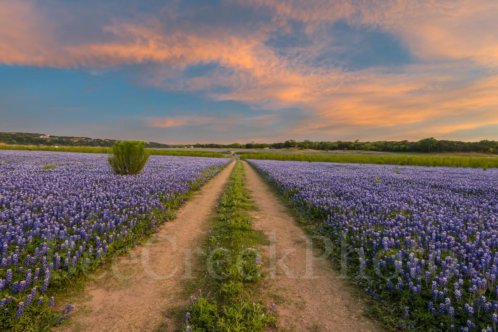 Bluebonnets, blue bells, blue bonnets, sunset, colorful sky, Muleshoe Bend Park, river bluebonnets, Texas bluebonnets, bluebonnets in texas, field of bluebonnets, bluebonnets landscape, images of blue, photo