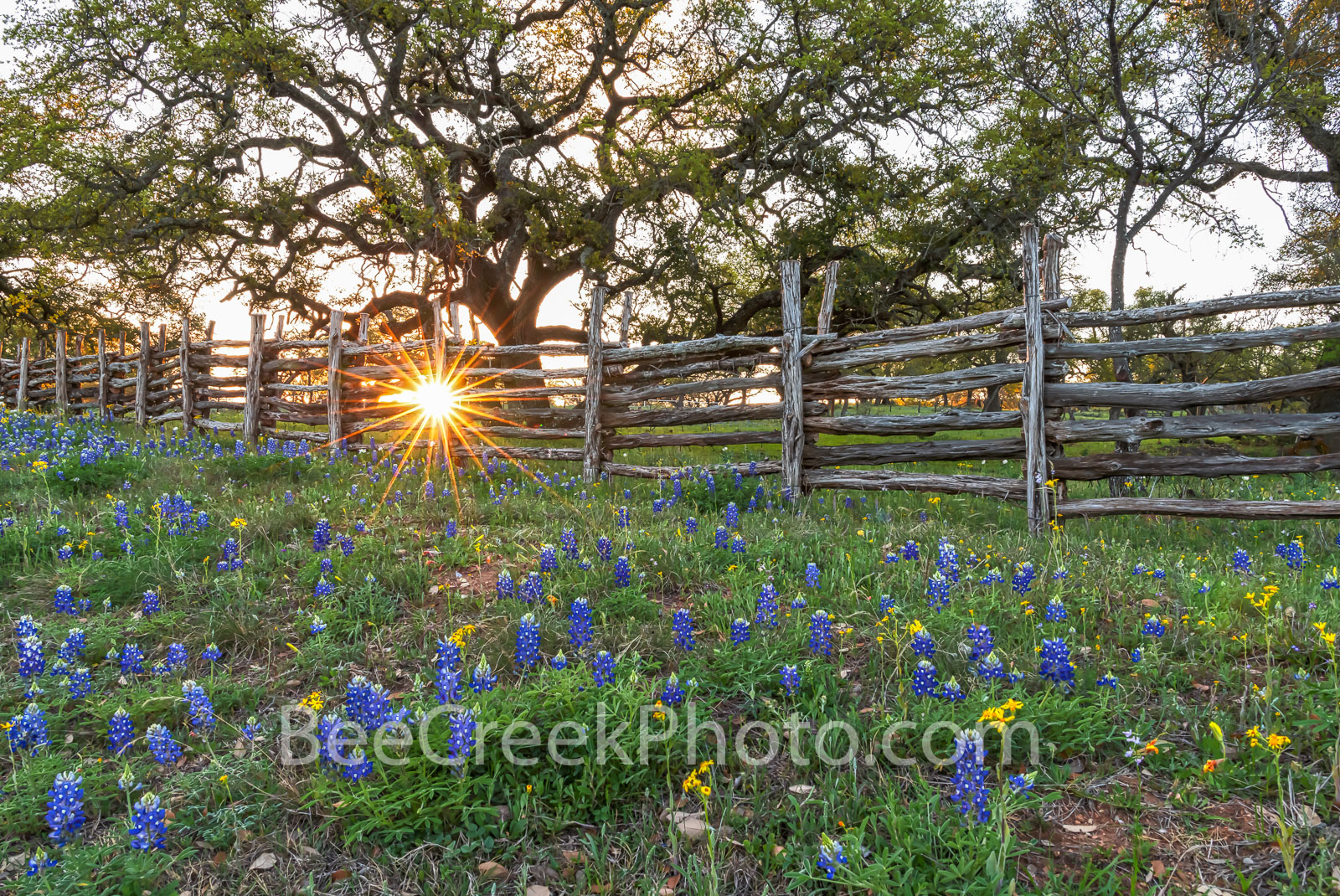 Bluebonnet Sunset at the Fence 2 - Another capture of this wood fence with bluebonnets, the oak tree at sunset which creates...