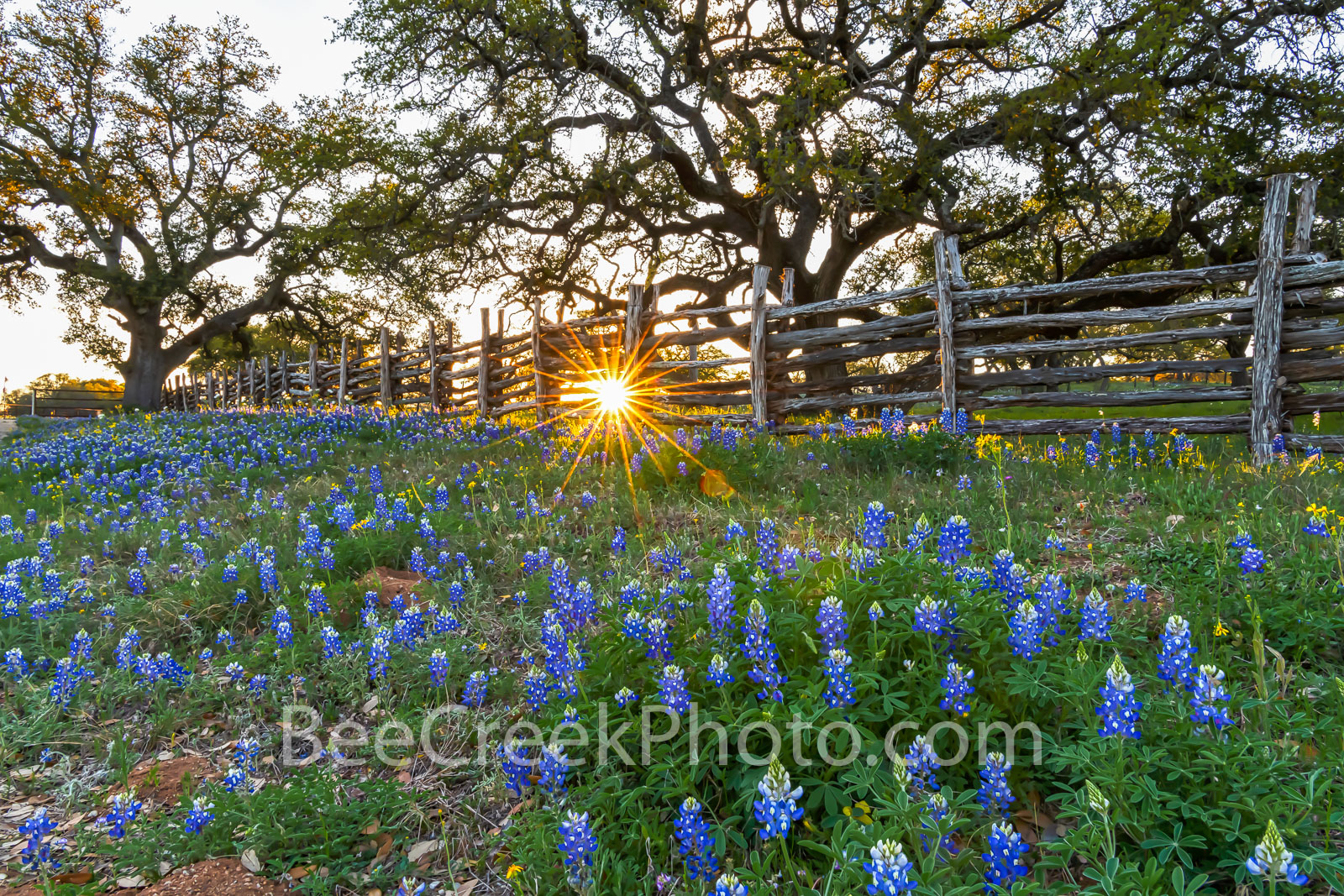 texas bluebonnets, texas wildflowers, sunset, sun rays, fench, cedar fence, bluebonnents in the hill country,  wildflowers in the texas hill country, oak tree, willow city loop, country, bluebonnets, , photo