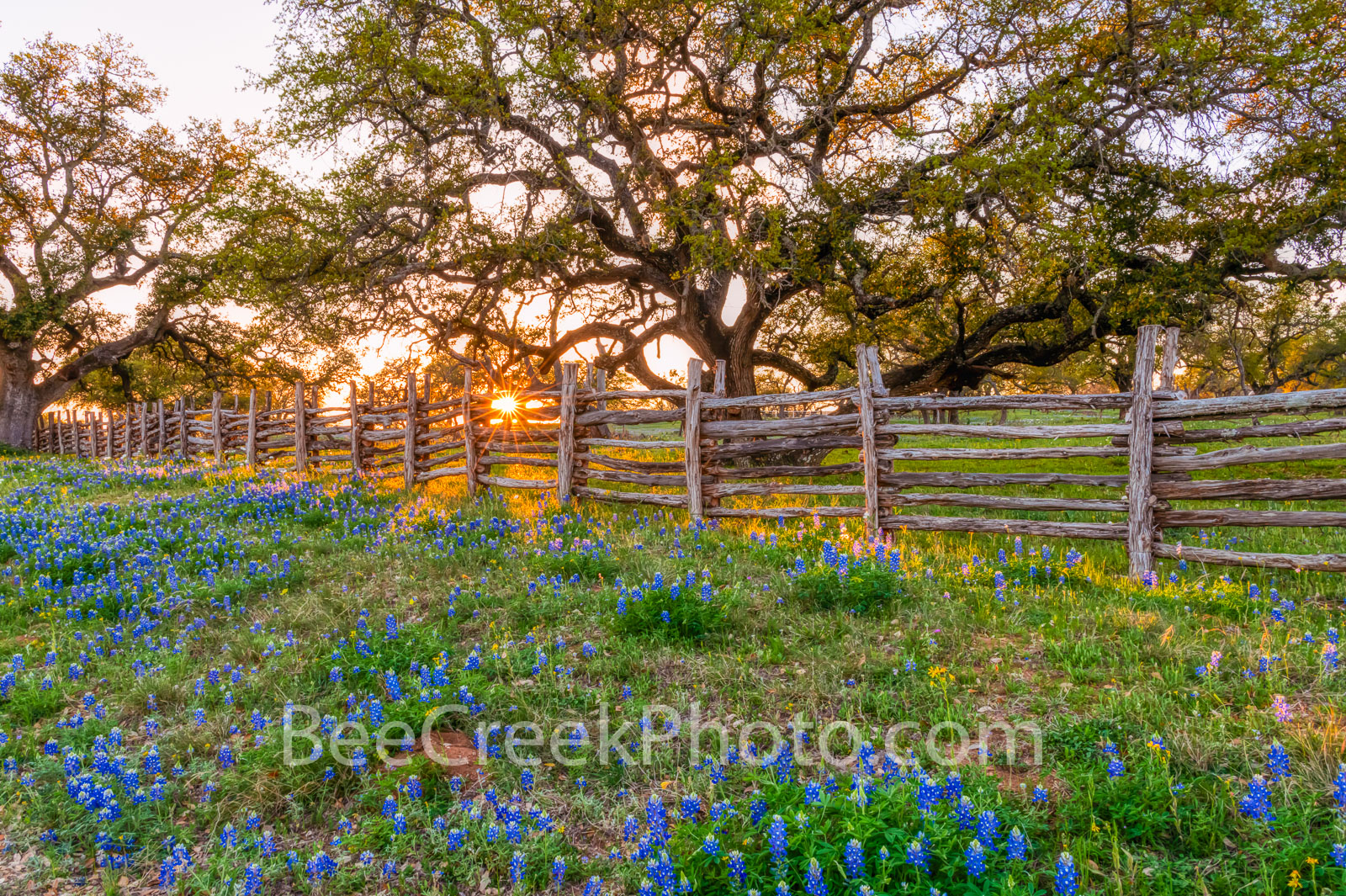 texas bluebonnets, texas wildflowers, sunset, sun rays, cedar fence, bluebonnents, texas hill country,  wildflowers,  oak tree, hill country, bluebonnets, , photo