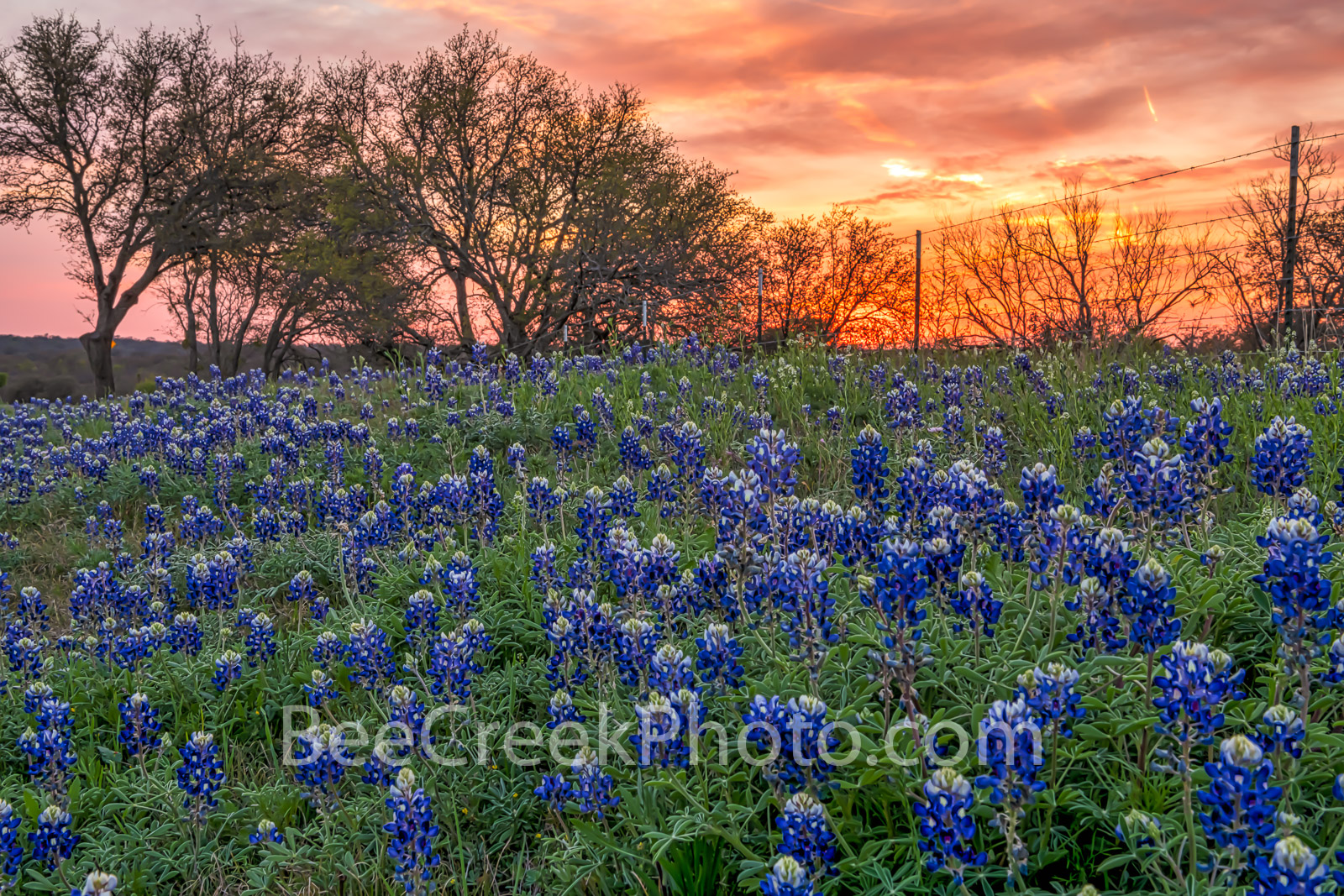 Bluebonnet, bluebonnets, image of bluebonnets, sunset, colorful, orange glow, vibrant, texas hill country, lupine, texas bluebonnets, fiery,, photo