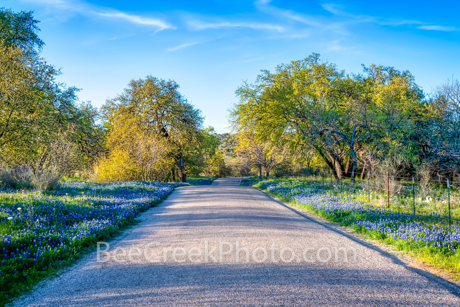 Bluebonnets Along Country Road - Bluebonnets line the road in this Texas hill country backroads with this natural wildflowers...