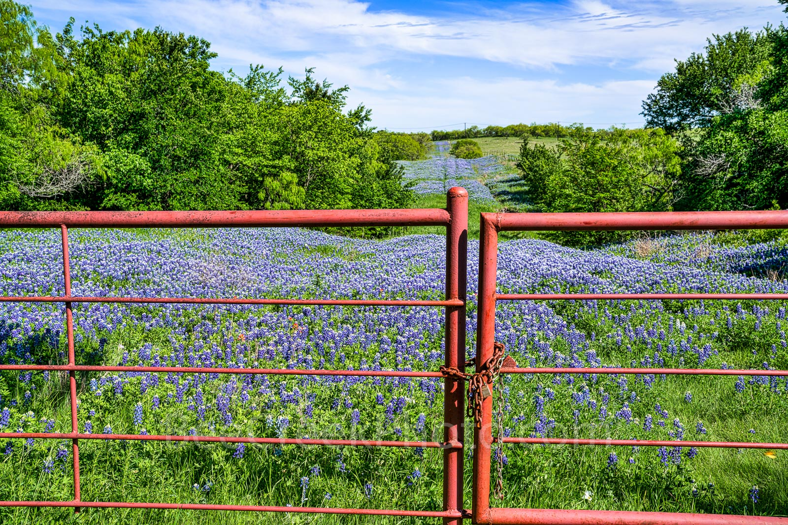 bluebonnets, bluebonnet at the gate, texas, Ennis, road, ranch, wildflowers, image of bluebonnets, pictures of bluebonnets, lupines, , photo