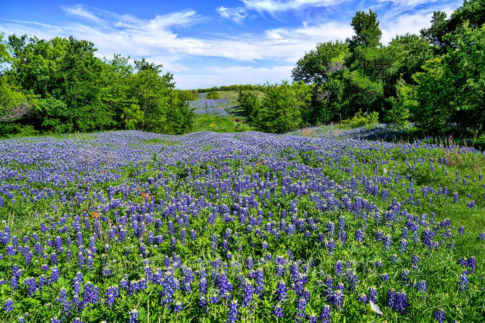 Texas bluebonnets, bluebonnet, hill, beyond, blue sky, clouds, nice field of bluebonnets, wildflowers, , photo