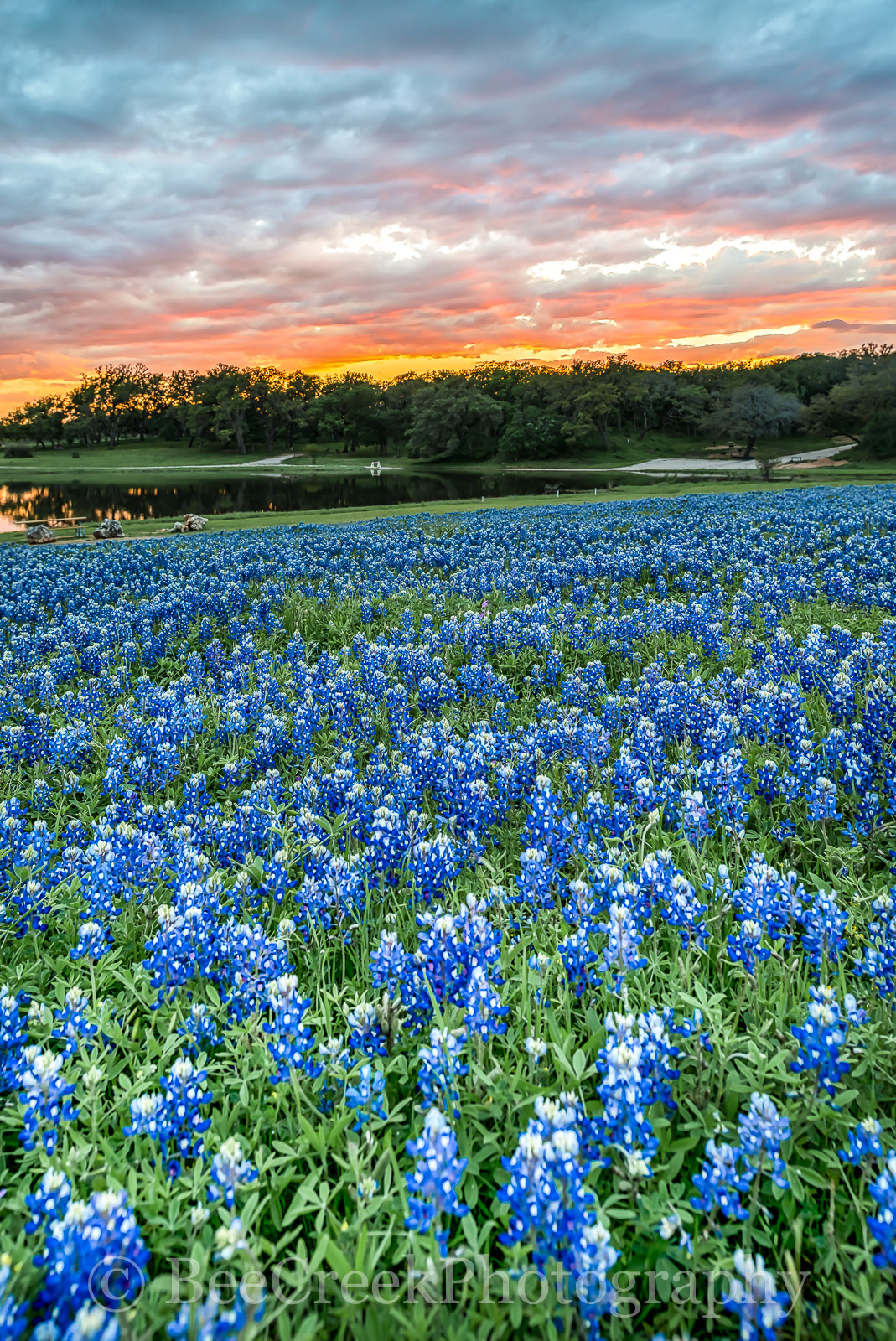 bluebonnets, bluebonnet, wildflowers, wildflower, sunset, firey, sky, colors, colorful, clouds, Texas Flowers, Texas wildflowers, Texas, flauna, flora, flowers, images of texas, landscapes, , photo