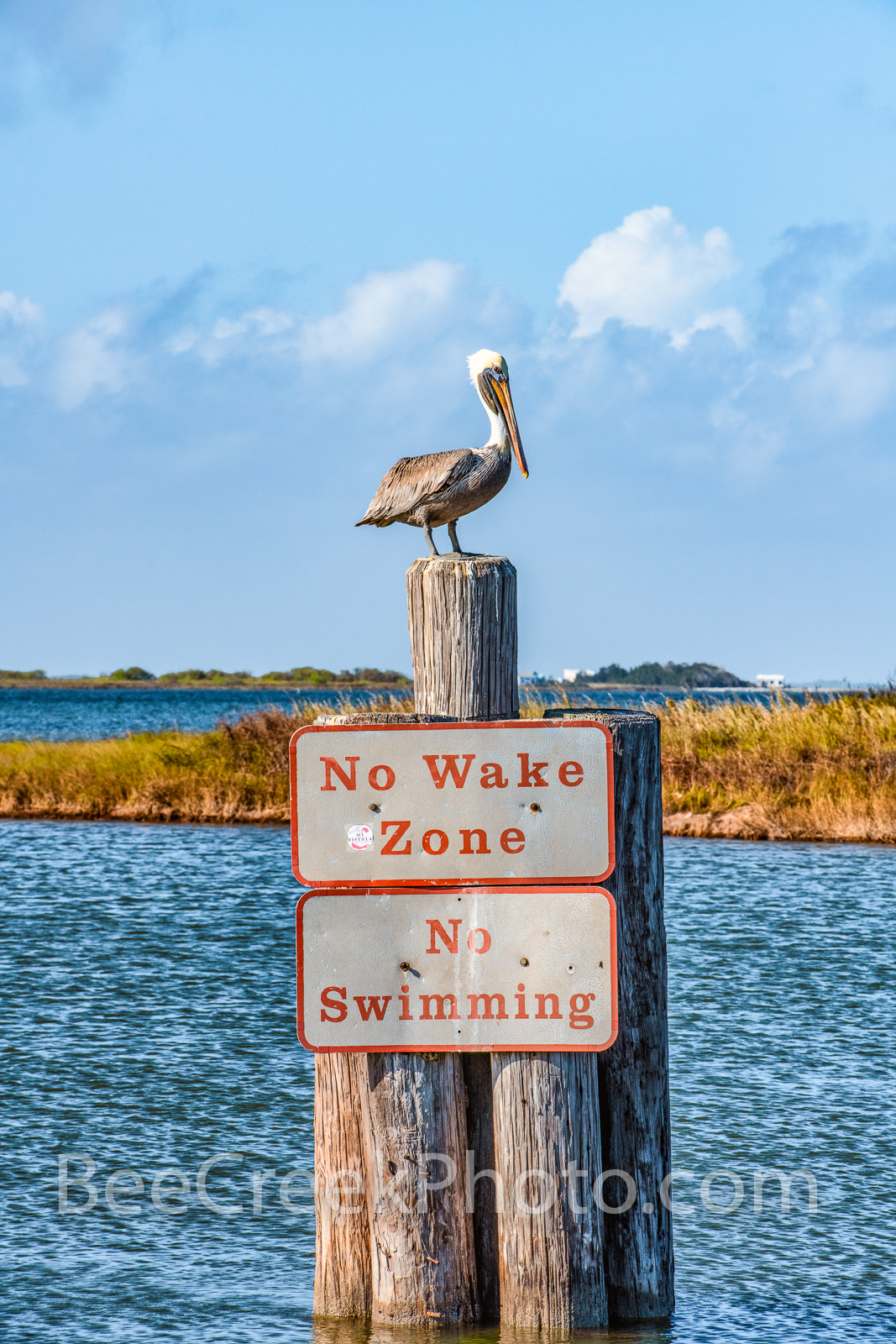 Brown Pelican Perch Vertical - Brown Pelican is a comically elegant bird with an oversized bill and big, dark body. Pelicans...