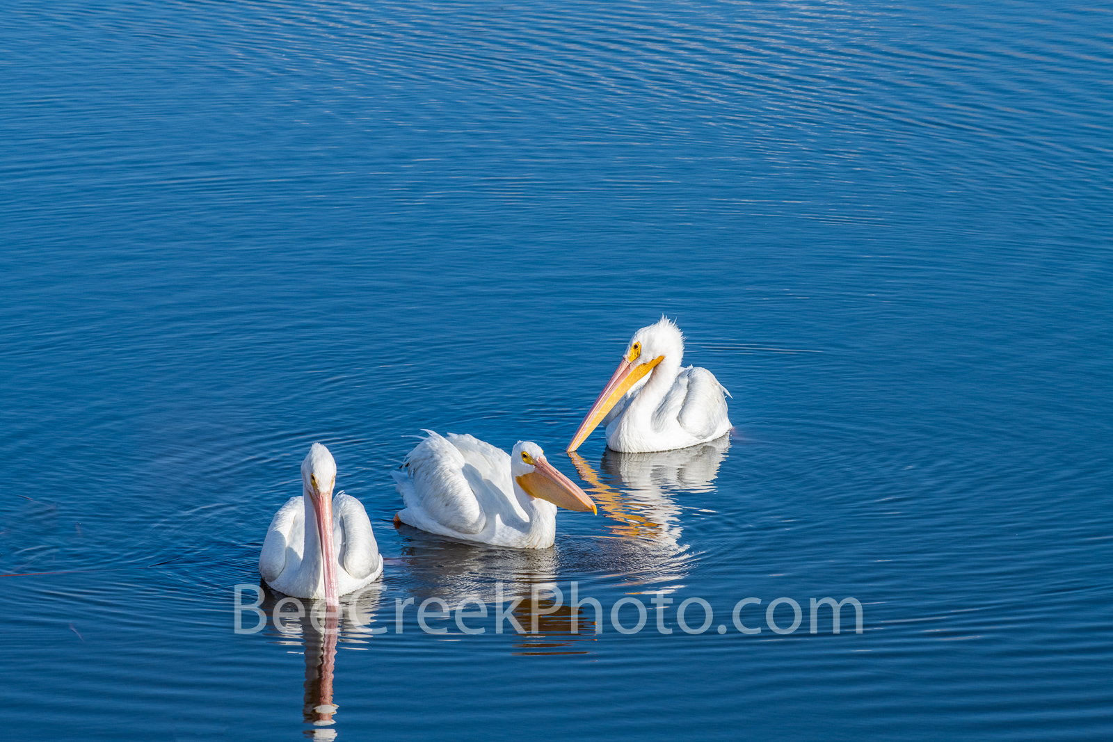 Coastal White Pelican Trio 2 - Twenty years ago we started out photographing birds, so anytime we see a good set up like this...