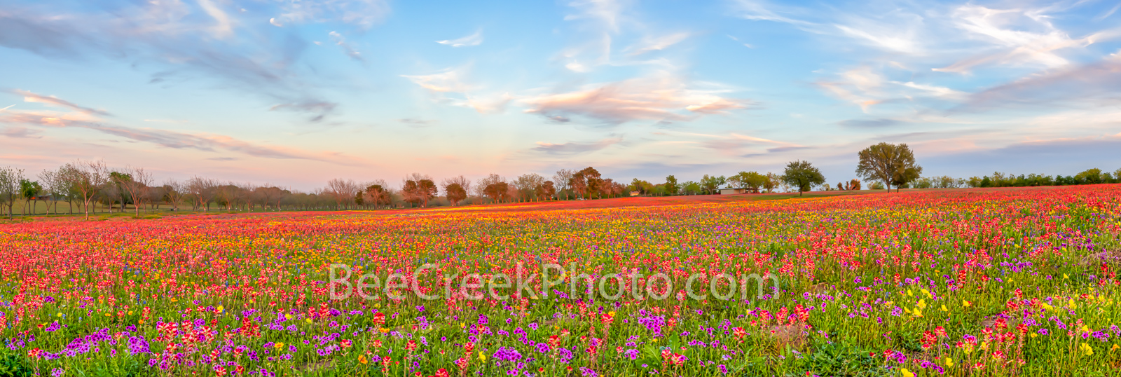 wildflowers, texas wildflowers, bluebonnets, indian paintbrush, yellow daisys, phlox, texas, central texas, south texas, floral, flowers, plants, colorfuwildflowers, backroads, pano, panorama, vibrant, photo
