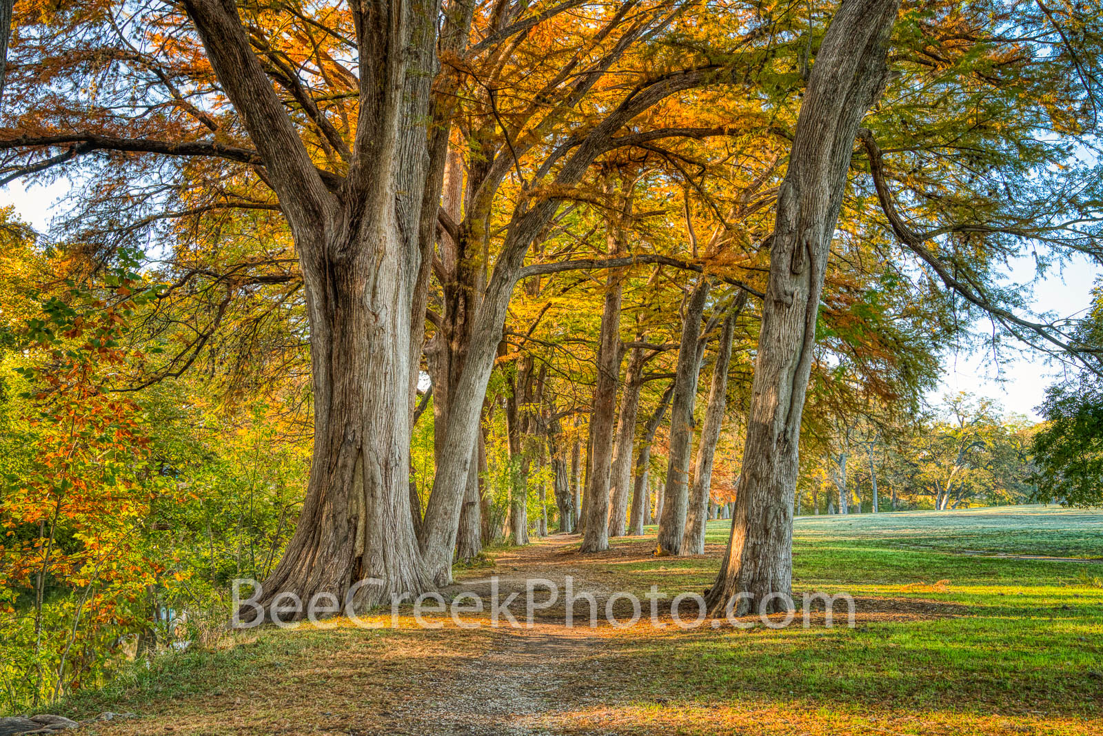 Cypress Along the Guadalupe 2  - The bald cypress were so lovely along the guadalupe river as they displayed the orange, and...