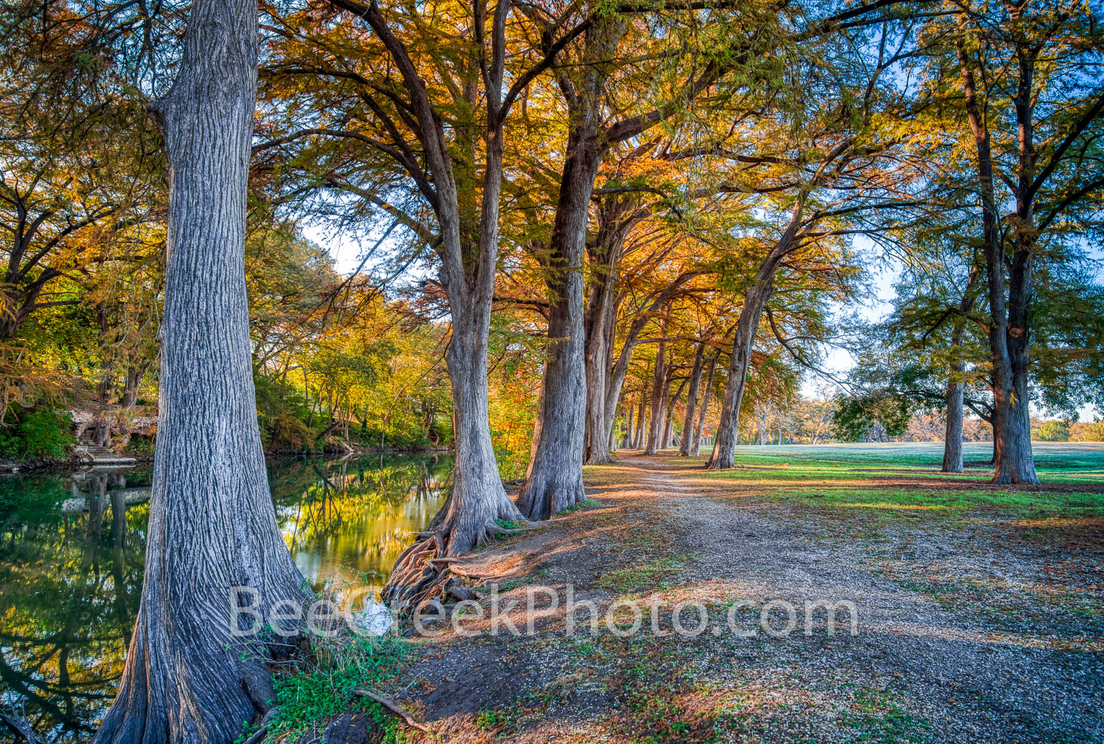 Cypress Along the Guadalupe  - The bald cypress were so lovely along the guadalupe river as they displayed the orange, and rusty...