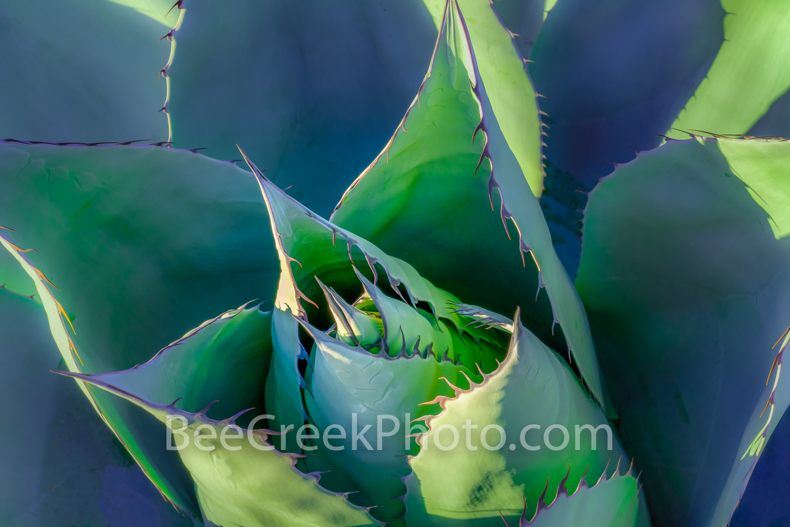 Desert Agave Art - A Desert Agave close up capture.  We love our century or agave plants regardless of what you call them they...