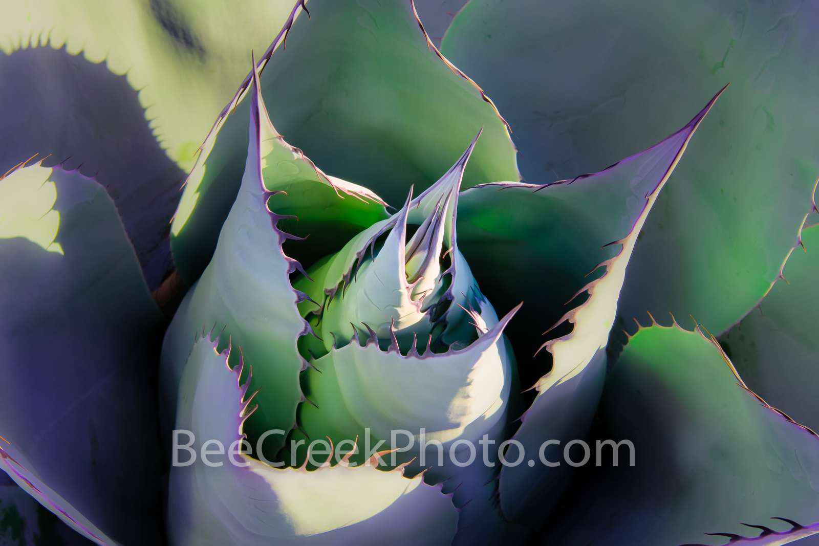 Desert Agave Macro - A Desert Agave close up macro of thos wonderful desert capture.  We love our century or agave plants regardless...