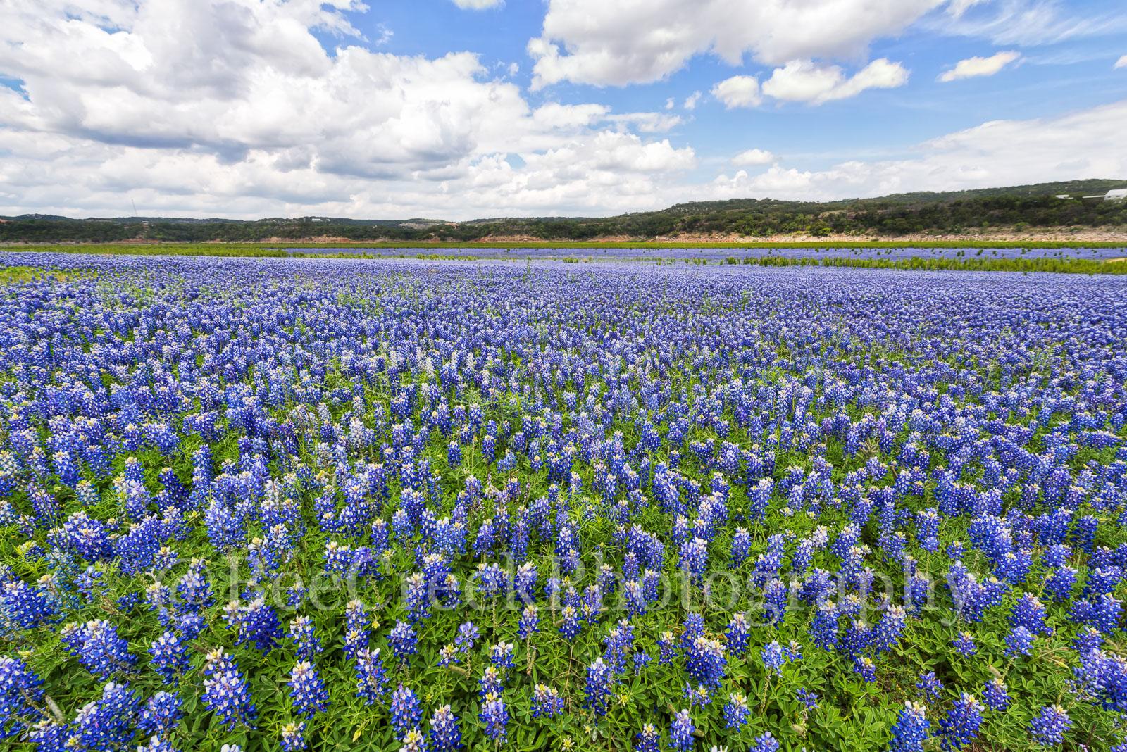 Bluebonnets, blue bells, blue bonnets, flowers, bluebonnet landscape, blue, texas bluebonnets, wildflowers, photo
