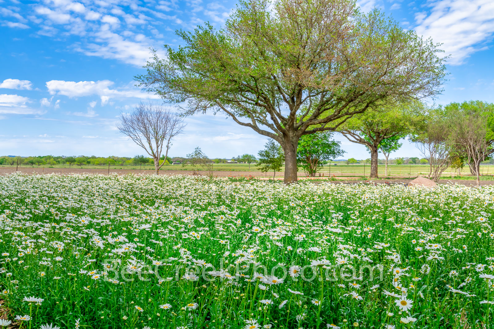 Field of Daisy Wildflower Landscape - This was a great field of ox-eyed daisy with just a few trees, a nice blue sky and white...