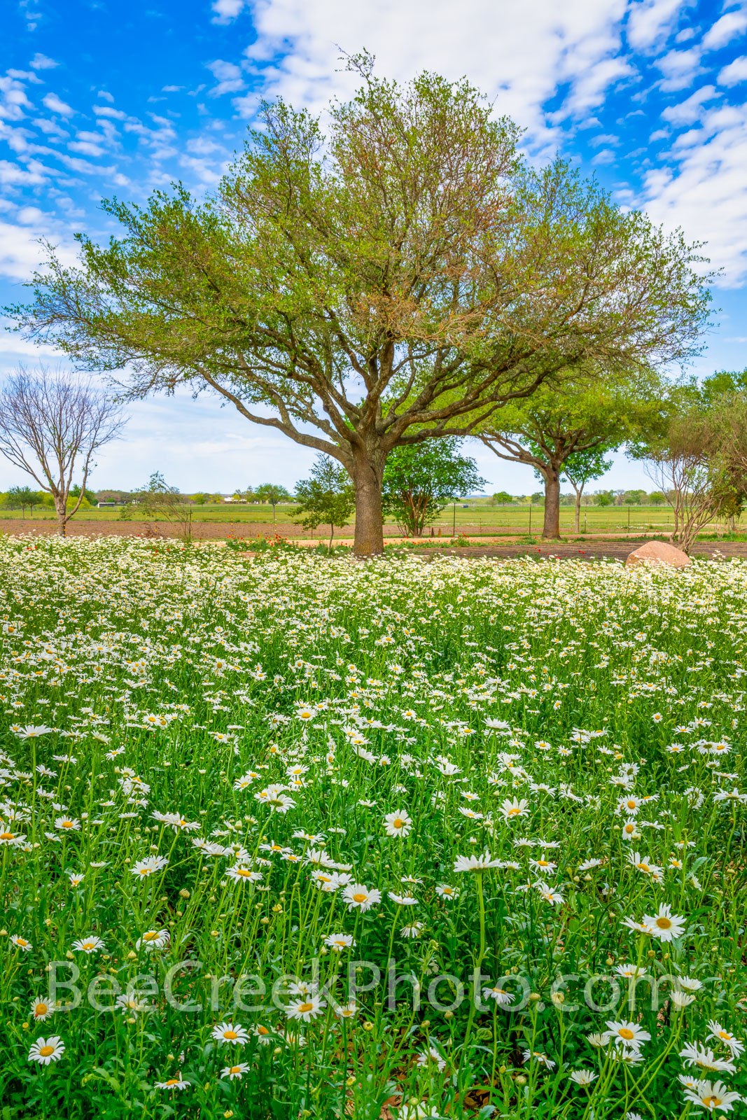 Field of Daisy Wildflowers Vertical - This was a great field of ox-eyed daisy wildflowers with just a few trees and a nice blue...