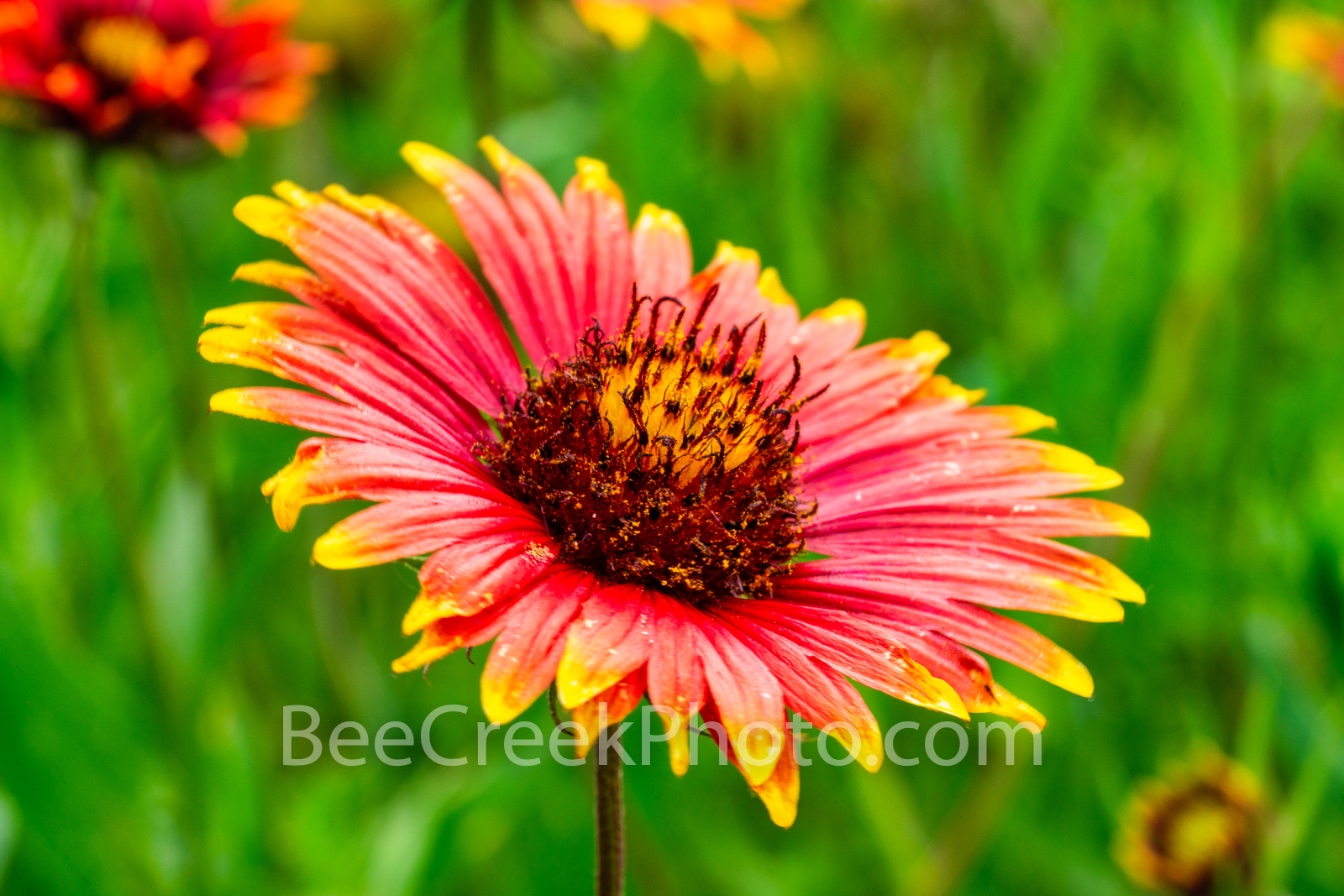 Firewheel Flower - Also known as Indian blankets of these wonderful annual or perennial that grow from spring through fall depending...