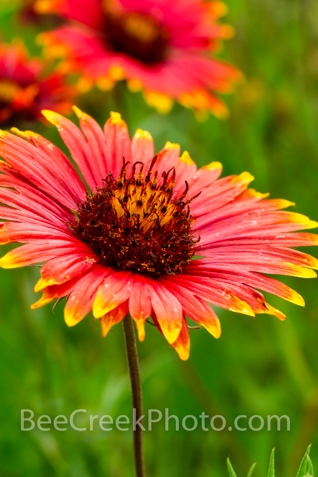 Firewheel Flower Vertical - Also known as Indian blankets of these wonderful annual or perennial that grow from spring through...
