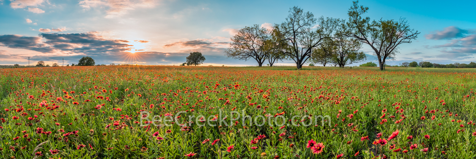 Firewheels Wildflowers at Sunset Pano - A field of Texas firewheels, also called indian blankets with some mequite trees right...