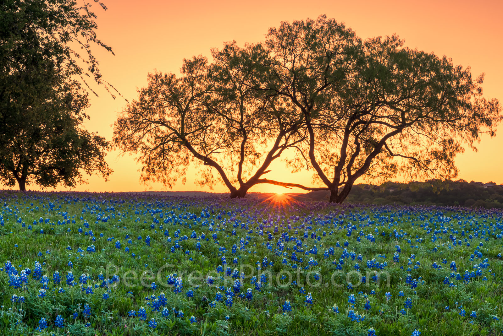 Bluebonnets, sunrise, field of bluebonnets, bluebonnets, wildflowers, mesquite tree, Texas bluebonnet, texas hill country, Lady Bird johnson, Highway beautification act, spring, spring flowers, landsc, photo