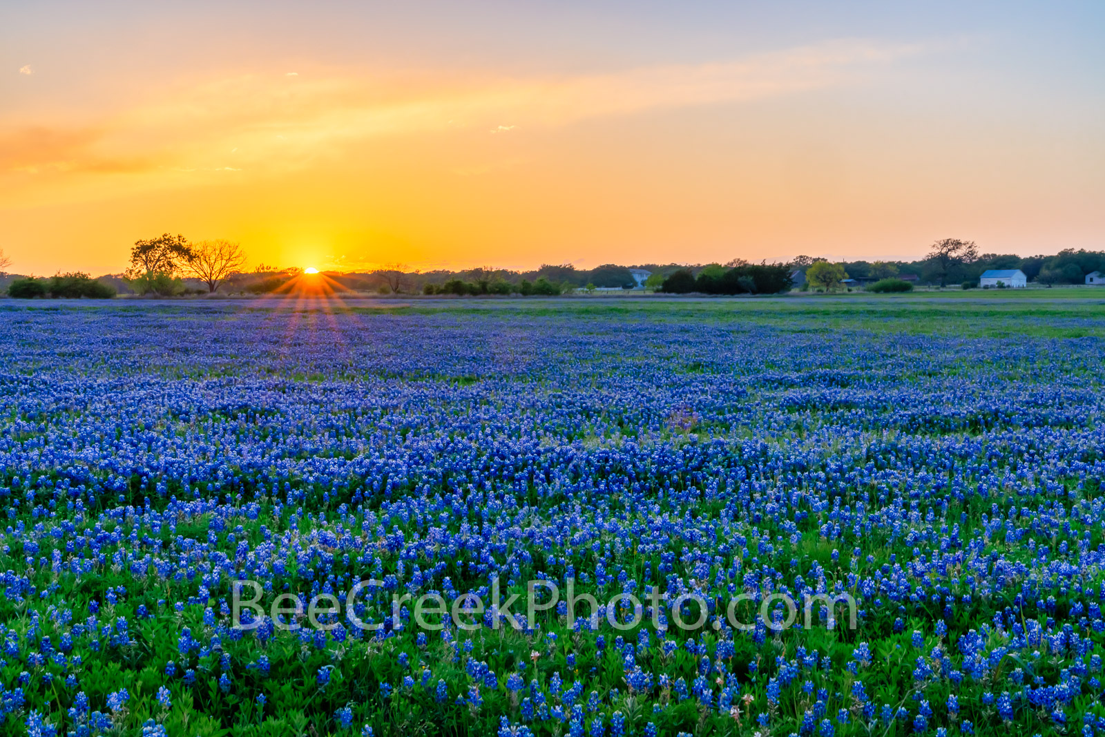 Golden Glow over Bluebonnet Landscape - Texas Wildflowers - We have been hoping that this farmland in the Texas hill country...