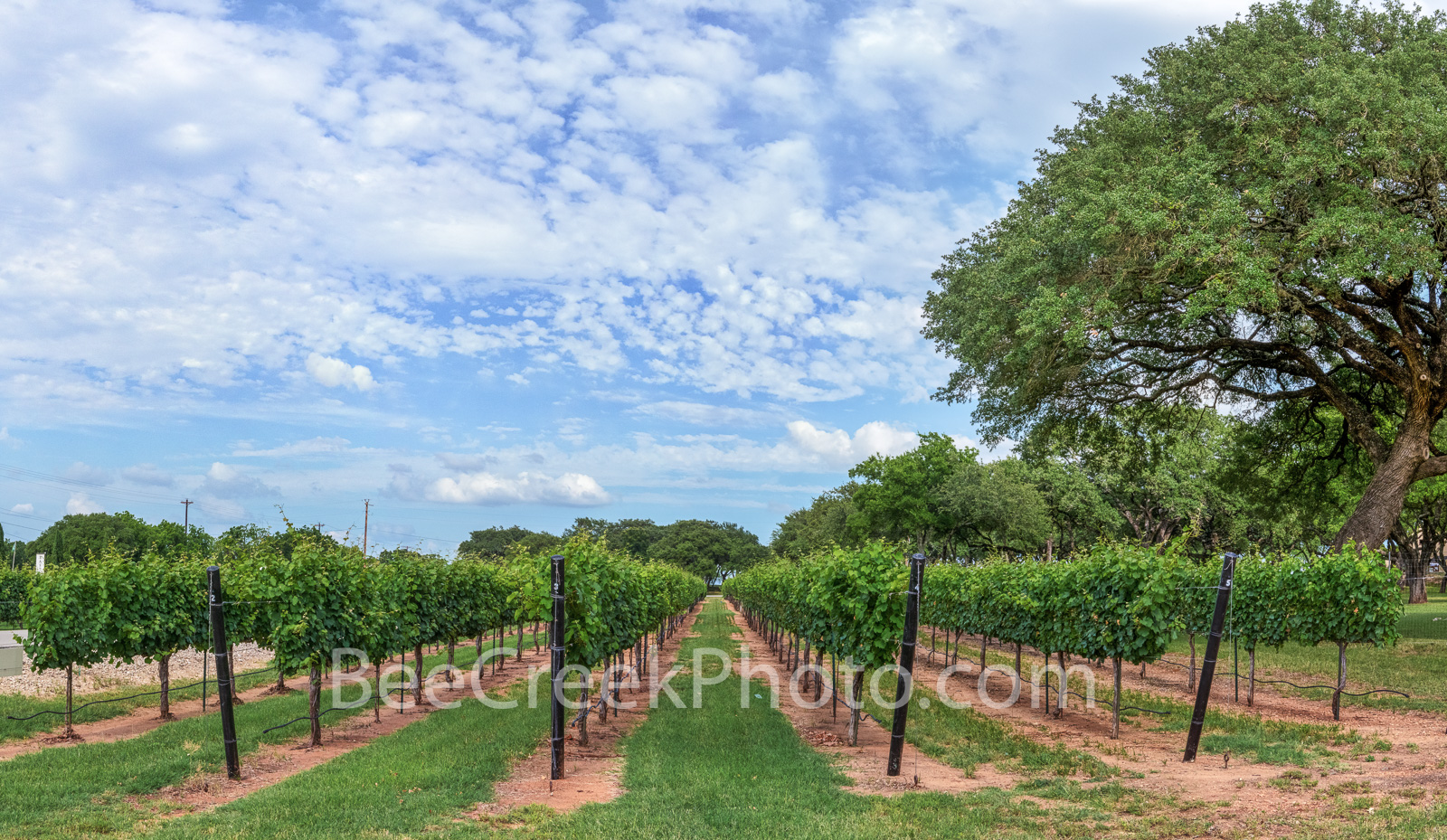 Grape vines,  texas hill country, texas, wine tasting, winerys, vines, grapes, plants, landscape, blue sky, backroads, wine, Fredricksburg, Johnson City,, photo