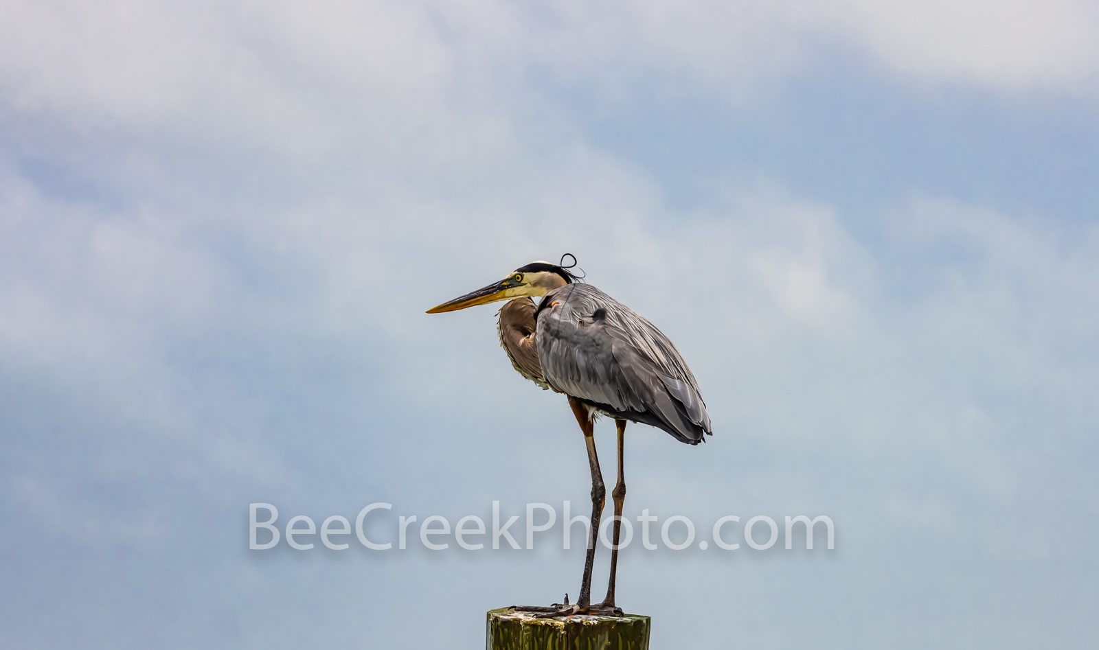 great blue heron, heron, post, coastal bird, blue grey, plumage, majestic bird, wading, shallow waters, shoreline, surveying, beak, spear, fishing, birds, stoic, stately heron, water bird,, photo