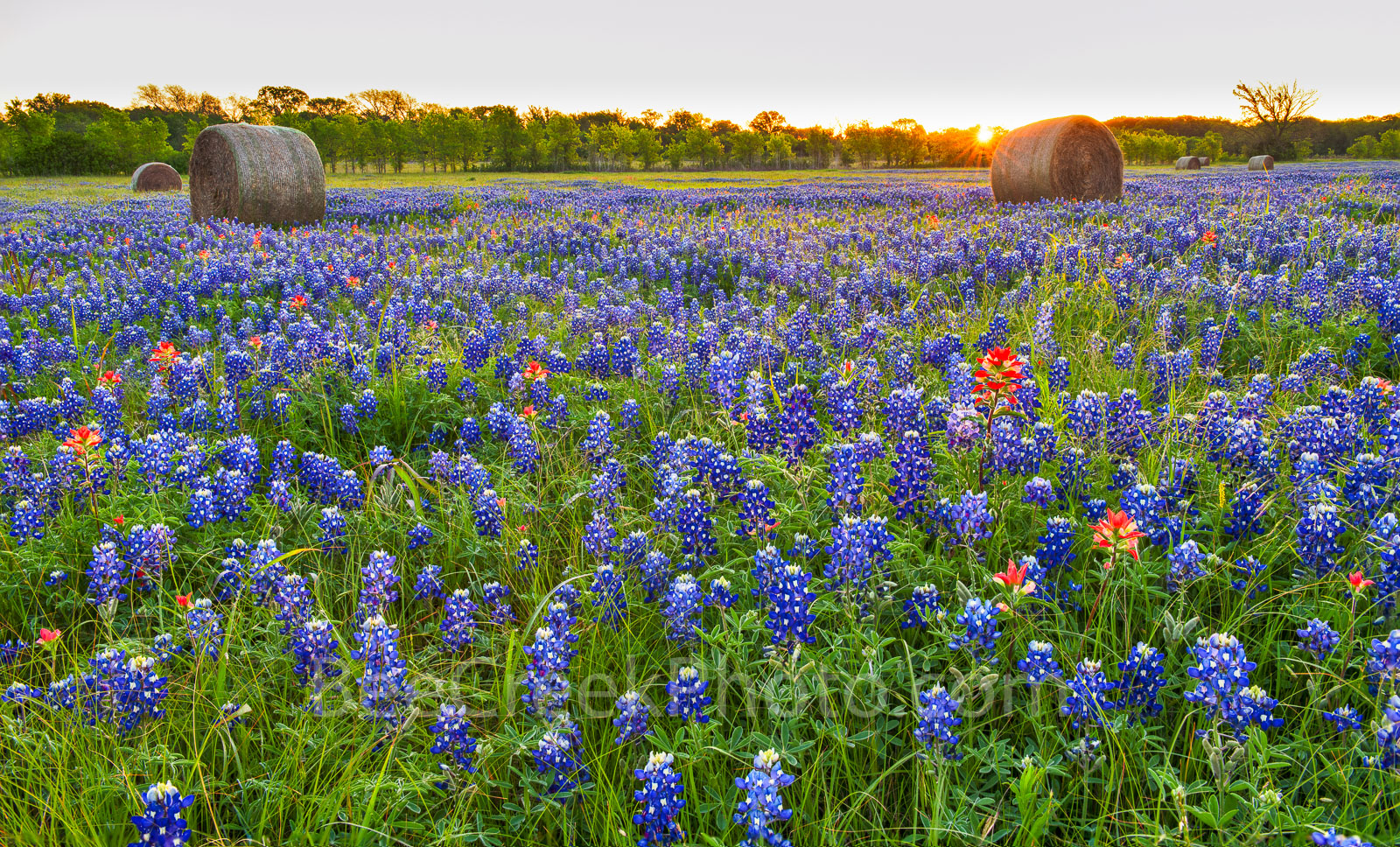 Texas bluebonnets, wildflowers, ranch, hay bales, sunrise, field of texas bluebonnets, indian paintbrush, sun rays, lupine, state flower of Texas, springtime, flower,, photo