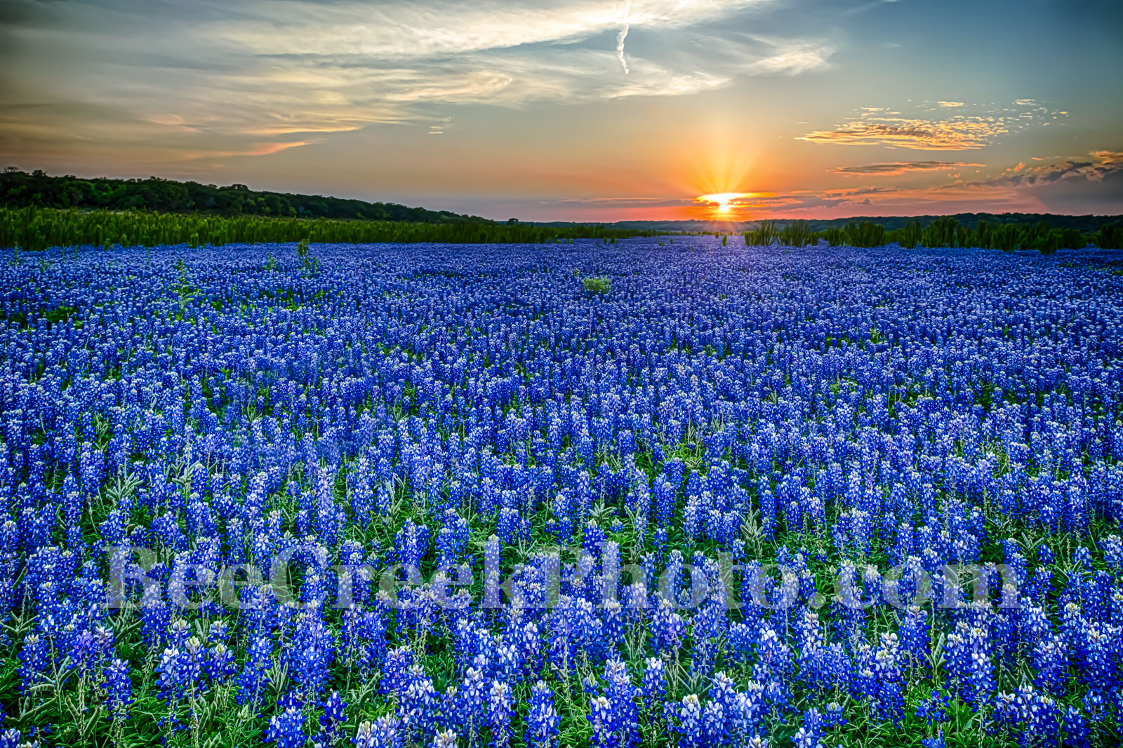 Bluebonnets, Texas Hill country bluebonnets,  texas bluebonnets, field of bluebonnets, texas hill country, spring, Muleshoe Park, Colorado river, heavenly, glow, wildflower, wildflowers, sunset, sun s, photo