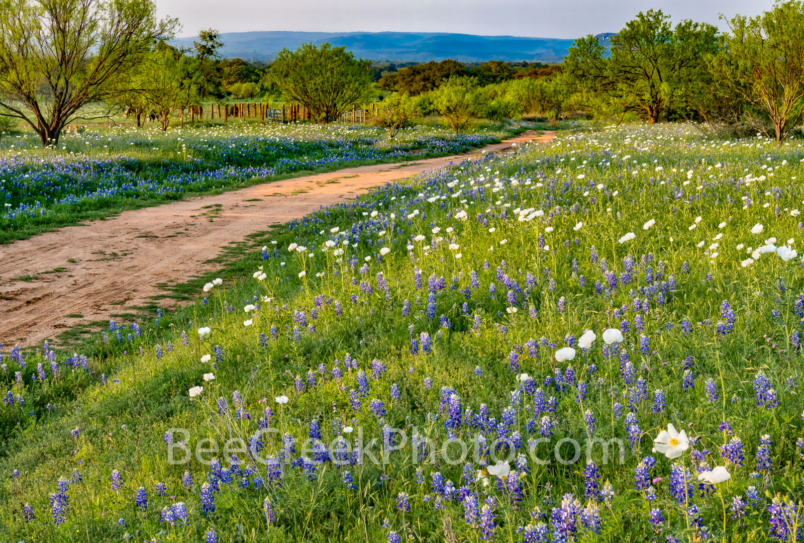 texas bluebonnets, bluebonnet, bluebonnets, texas wildflowers, poppies, wildflowers, texas hill country, hill country, texas, images of bluebonnets, images of wildflowers, dirt road, ranch road, , photo