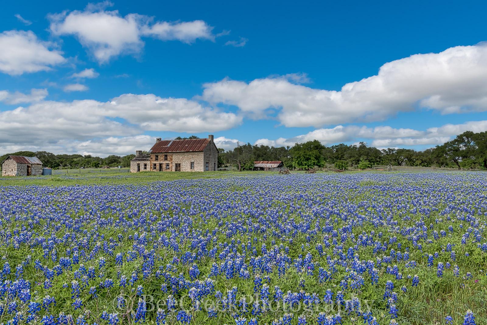 bluebonnets, bluebonnet, blue bonnets, Marble Falls, bluebonnet farmhouse, bluebonnet house, Texas Lupine, lupine, landscape, landscapes, landscape, wildflowers, farmhouse, Texas Hill Country, flora, , photo