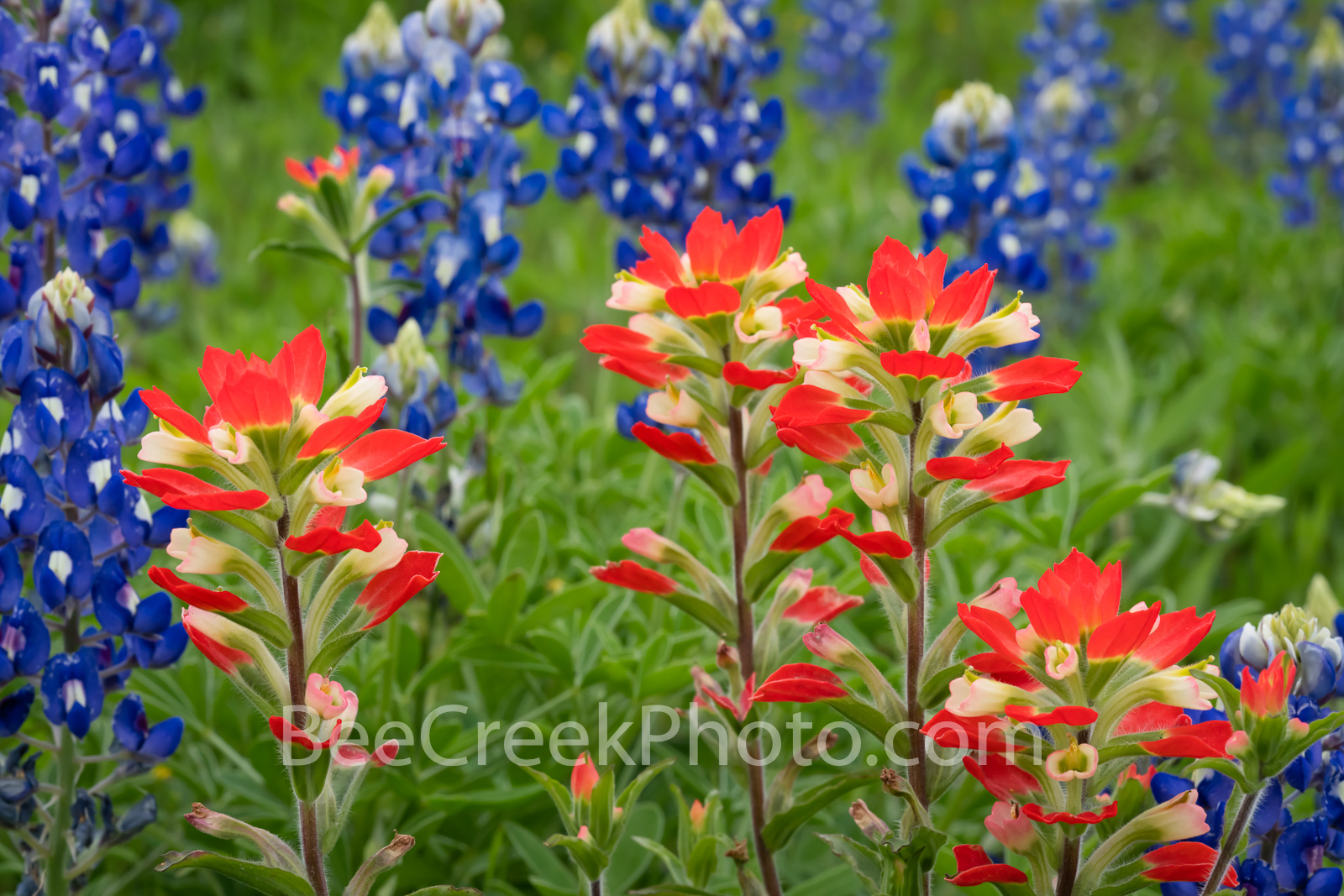Hill Country Indian Paintbrush and Bluebonnets - Texas hill country bluebonnet and Indian Paintbrush growing wild. We capture...