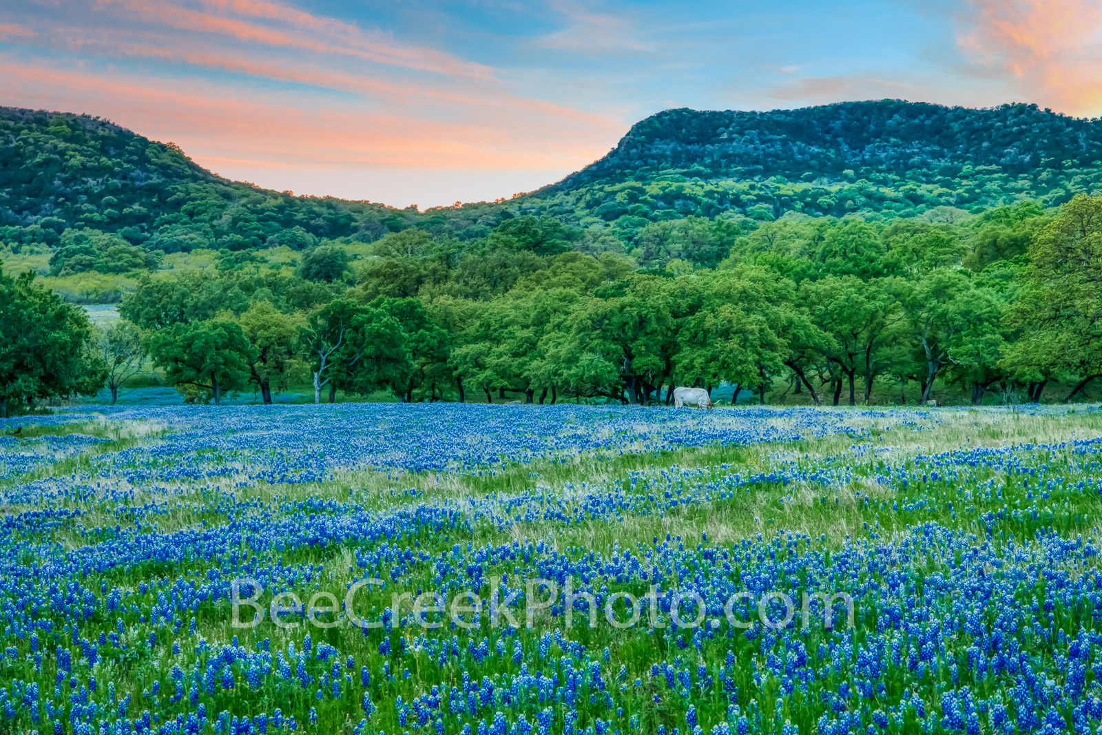 texas bluebonnets, bluebonnets, texas hill country, hill country, texas wildflowers, longhorn, cattle, wildflowers, blue bonnets, dusk, sunset, lupinus texensis, central texas, hills, lupine, lone sta, photo