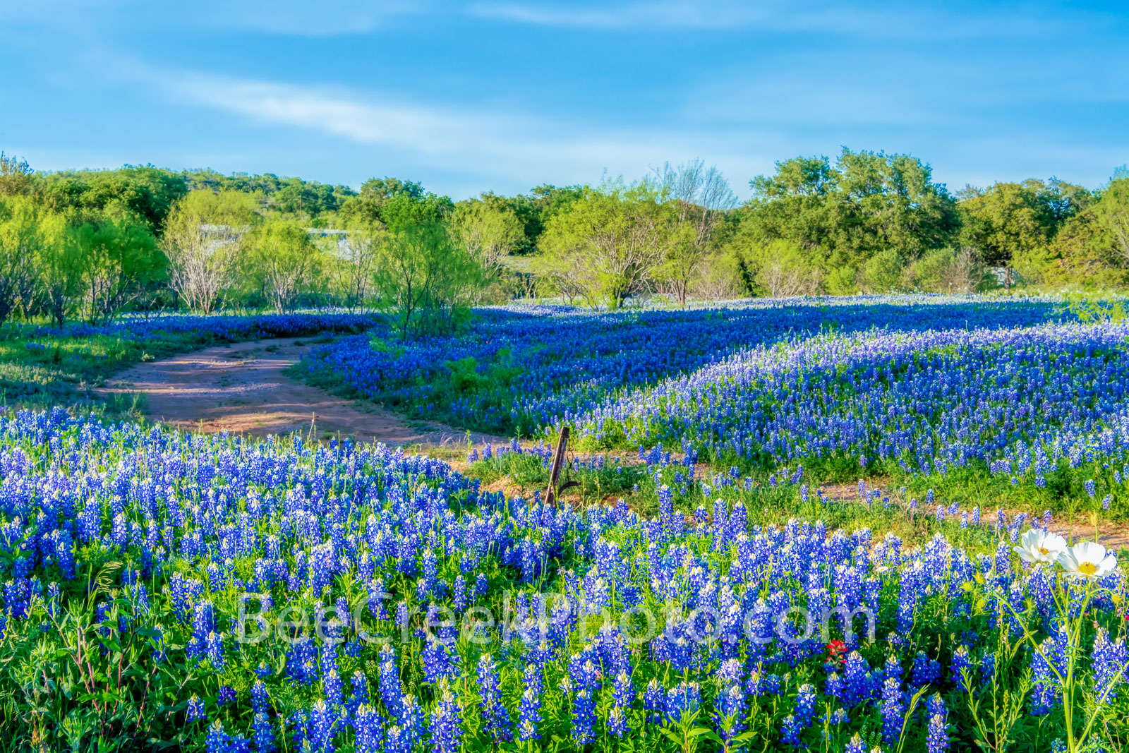 bluebonnets, texas bluebonnets, bluebonnet, wildflowers, texas wildflowers, texas hill country,, hill country, road, road side bluebonnets, pictures of bluebonnets, bluebonnets in the texas hill count
