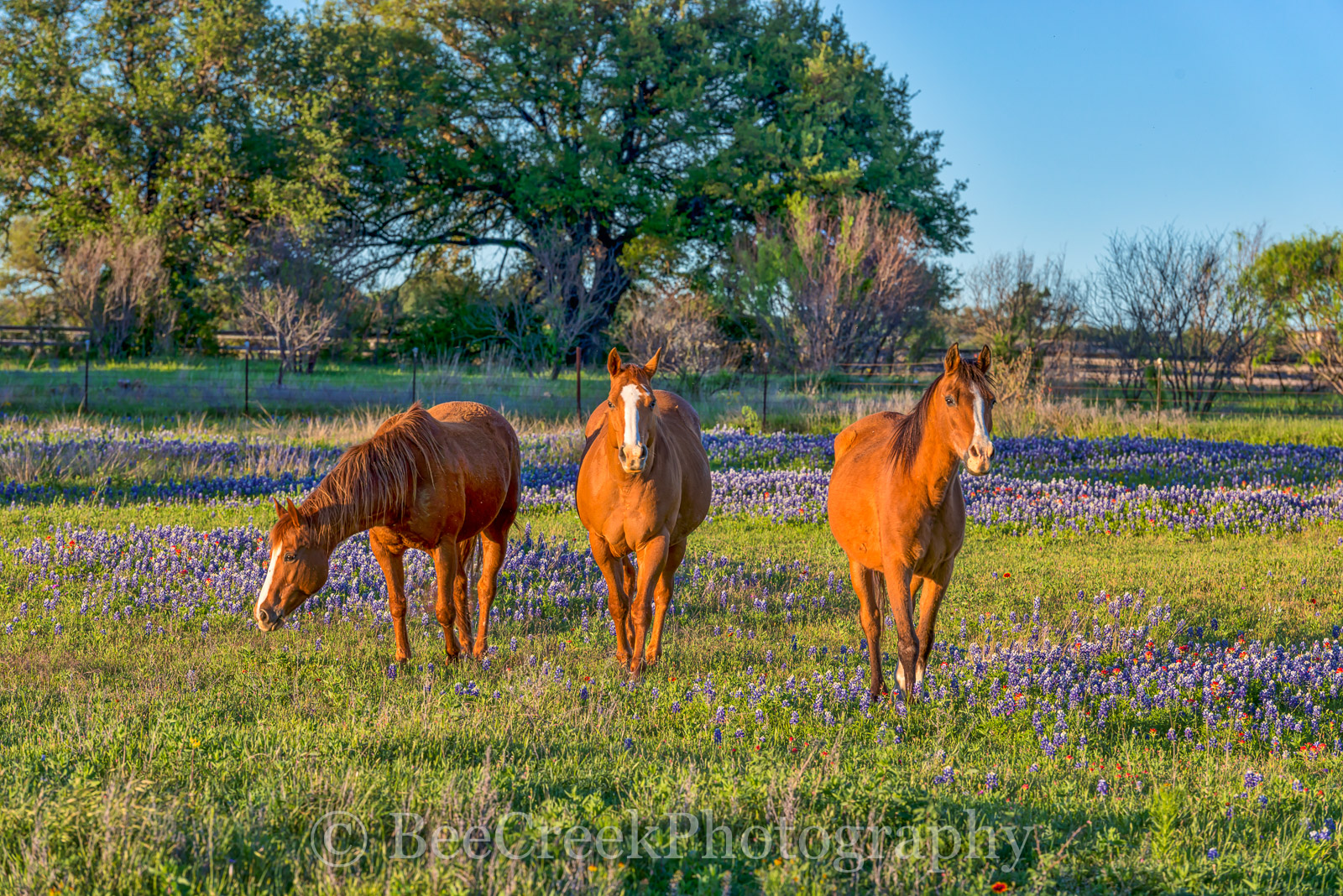 bluebonnet, blue blonnets , field, horses, rural, scene, landscape, wildflowers, , sun, field, , photo