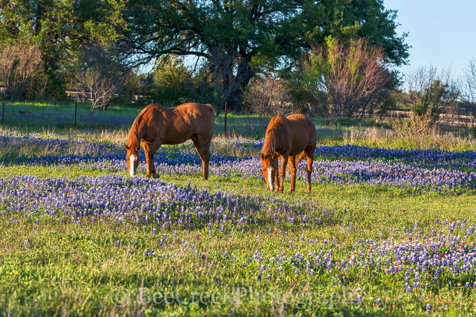 bluebonnets, wildflowers, field, flowers, horses, field, flowes, landscape, pasture, rural, , photo